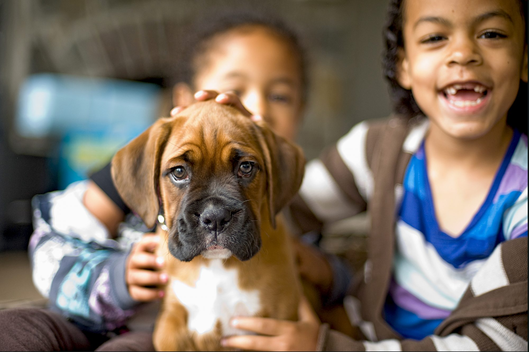 cute boxer puppy being pet by two children inside a house