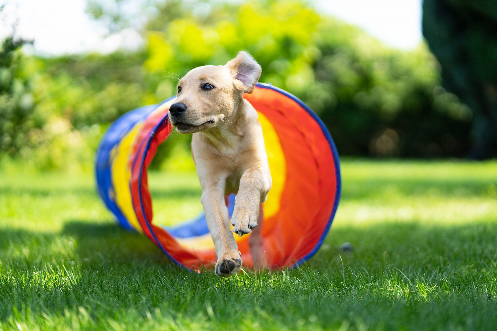young dog running through a colorful agility tunnel outside on an agility course