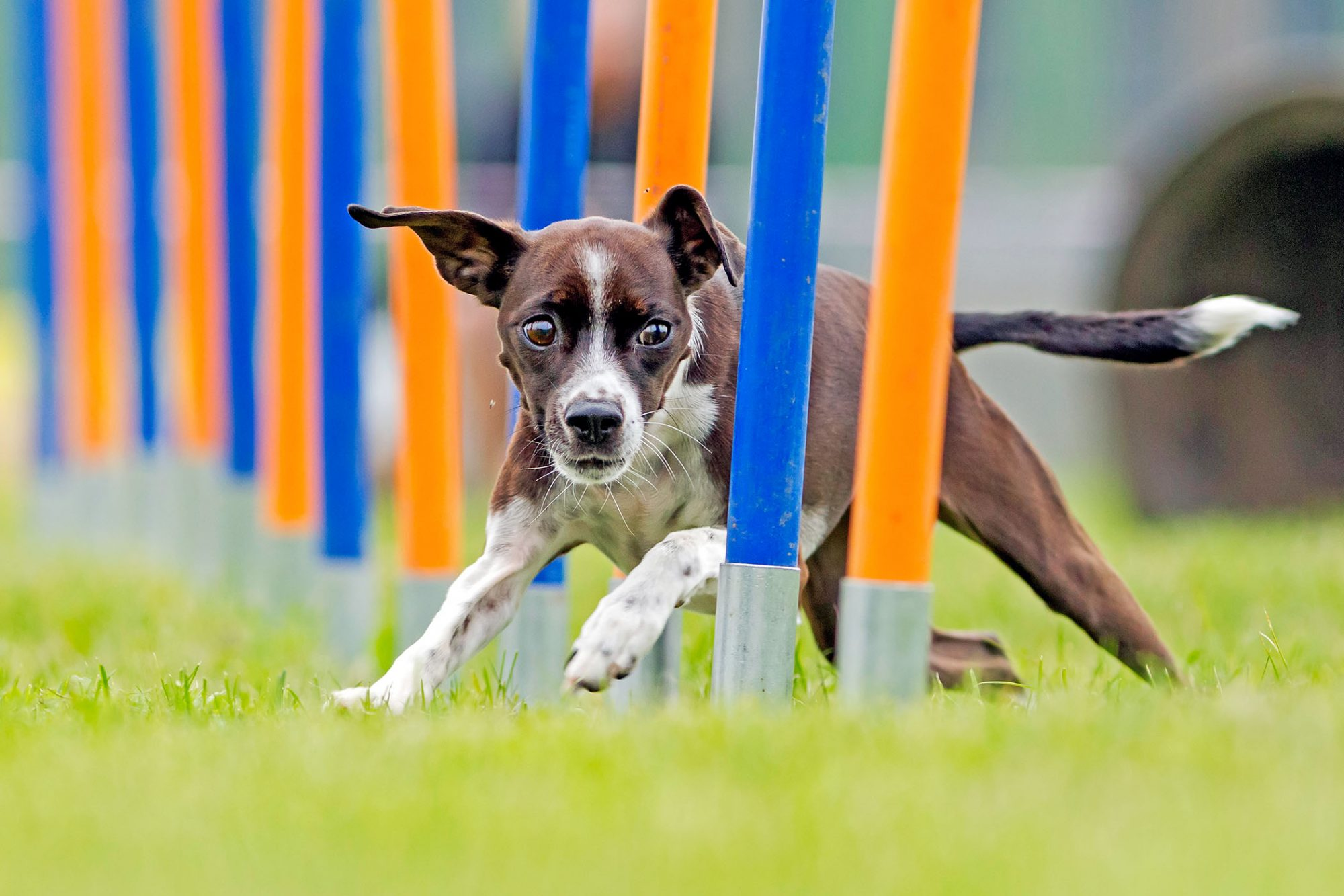 agility training dog running through blue and orange weave poles on an outdoor agility course