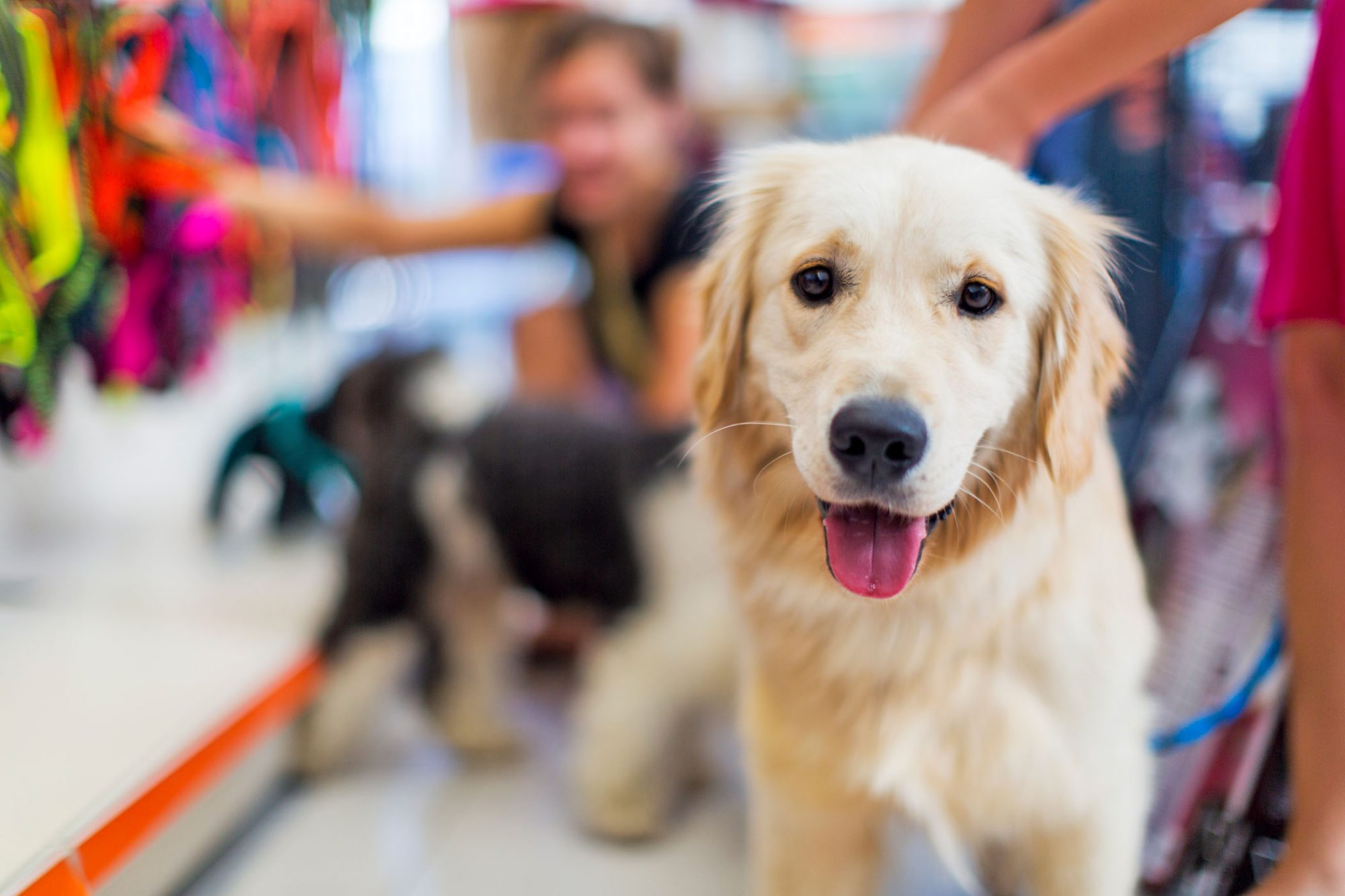 cute golden retriever at a pet-friendly pet store looking at the camera with his tongue out