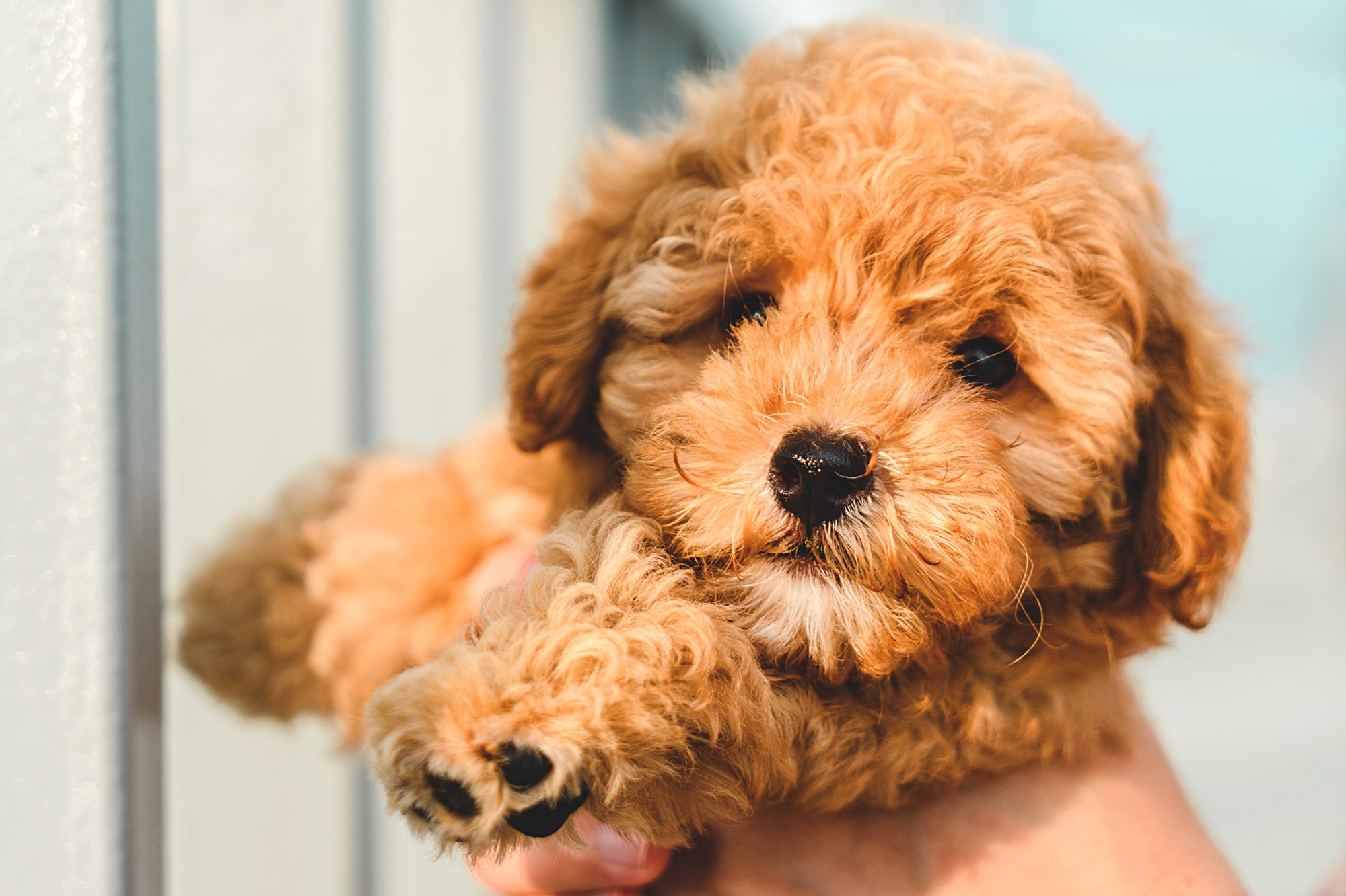 tiny golden toy poodle puppy held in owner's hands
