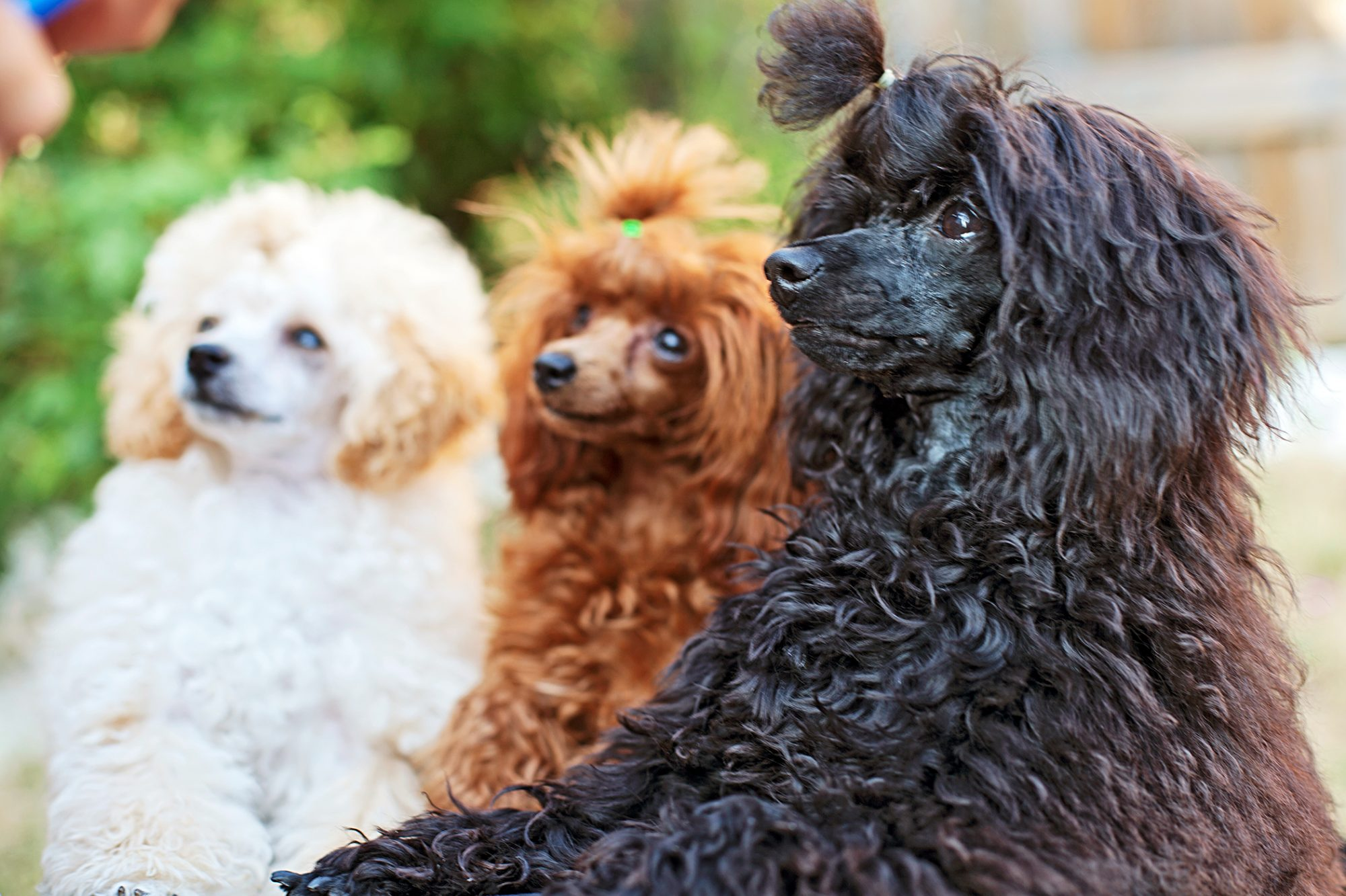 three toy poodles with white, red and black fur sitting in a row outside being trained