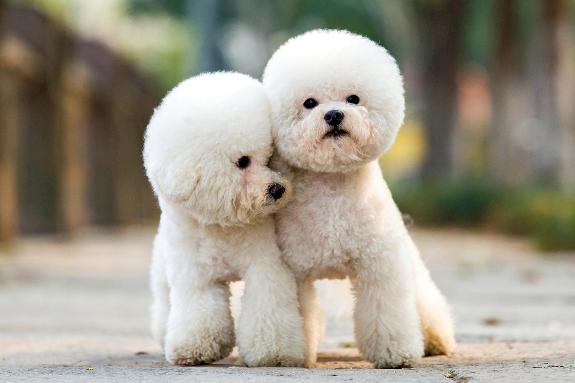 two white toy poodles with teddy bear haircuts standing next to each other outside