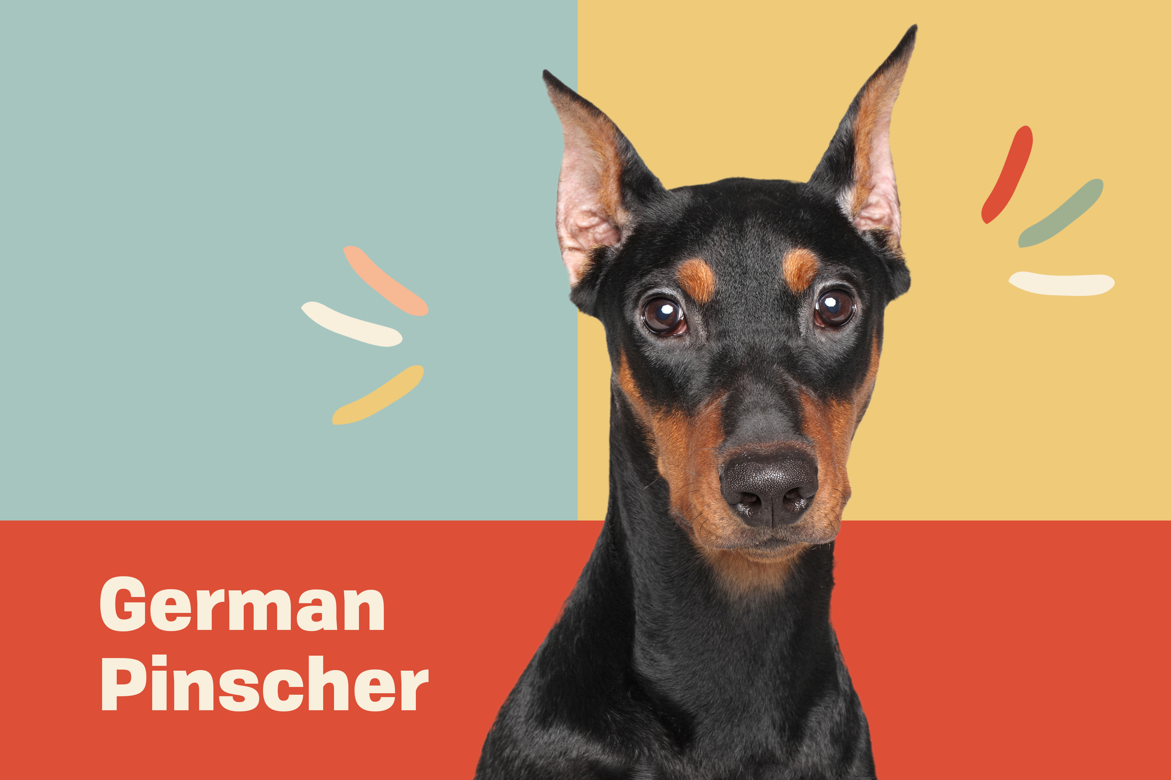 german pinscher dog breed profile treatment dog cut out on a blue, yellow and red background
