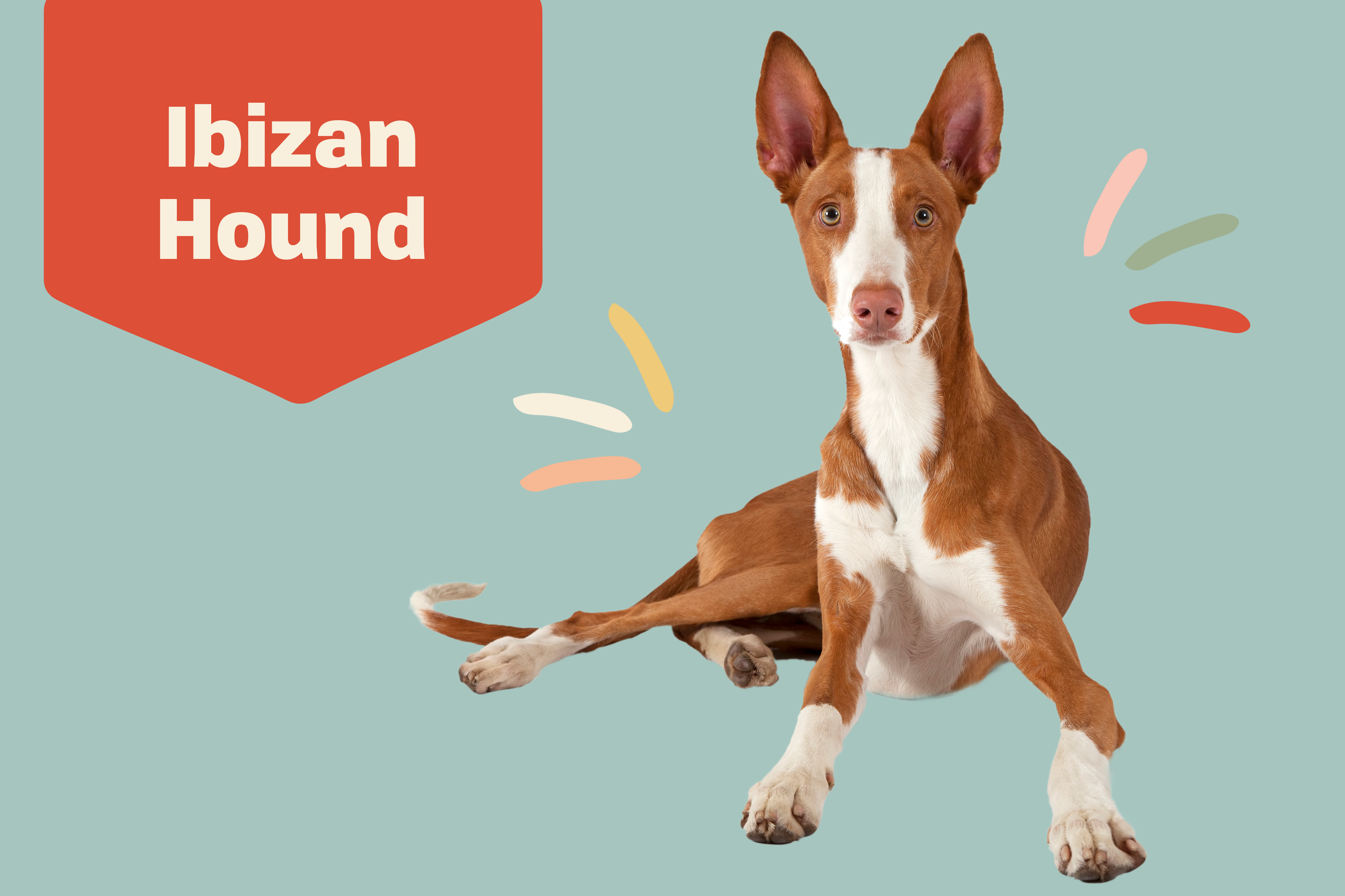 ibizan hound dog breed profile treatment lying on a solid blue background
