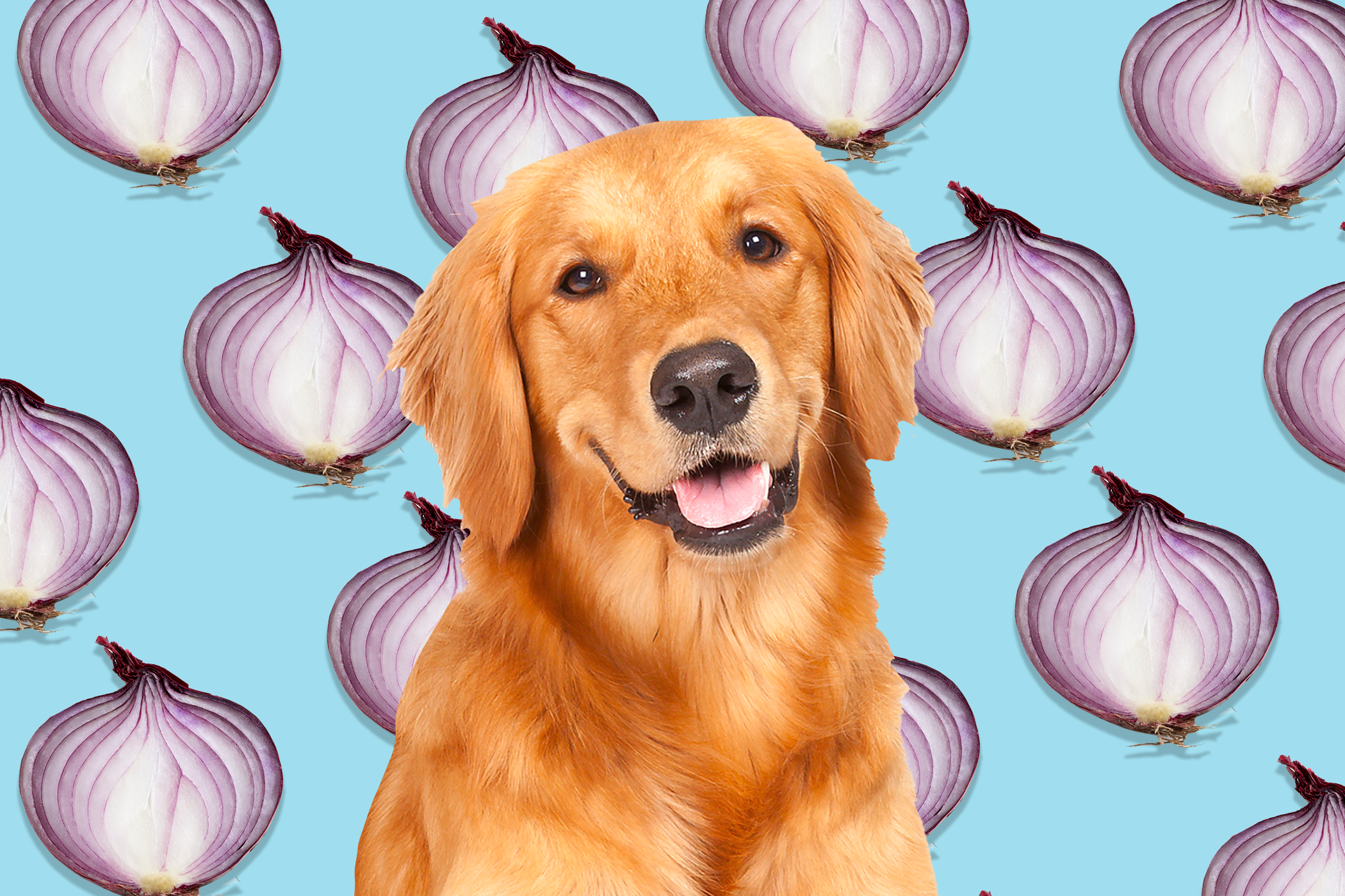 golden retriever in front of red onions repeating on a light blue background