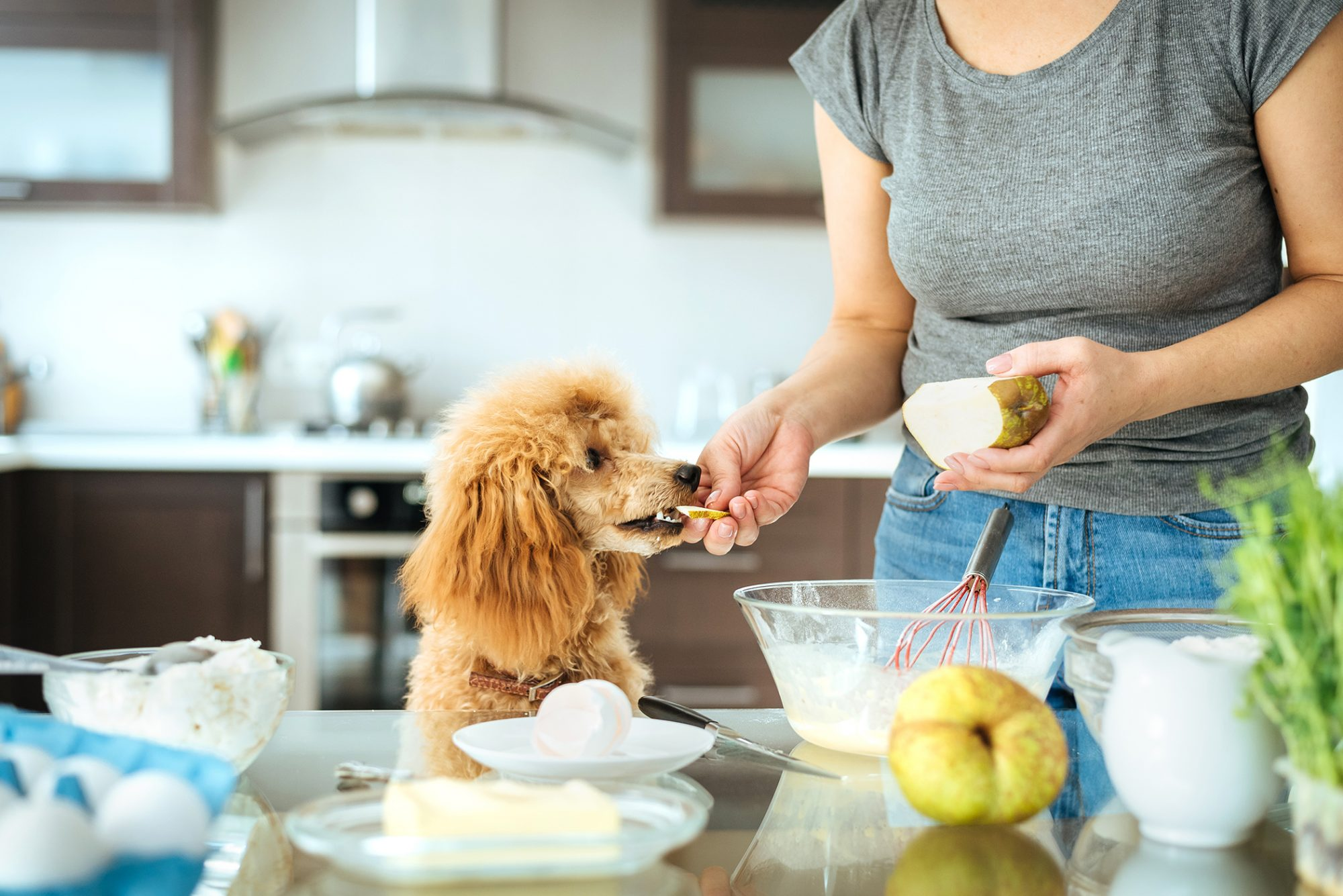 owner feeding her poodle a pear in a modern kitchen