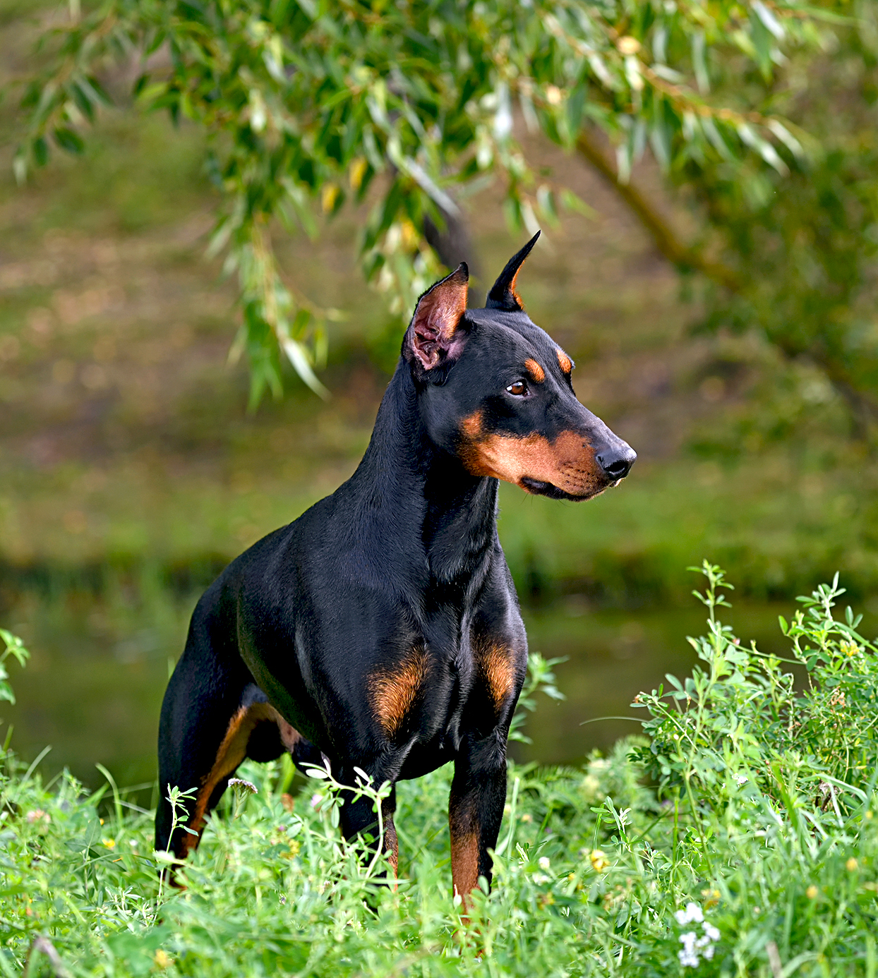a black and brown german pinscher standing in grass on river bank
