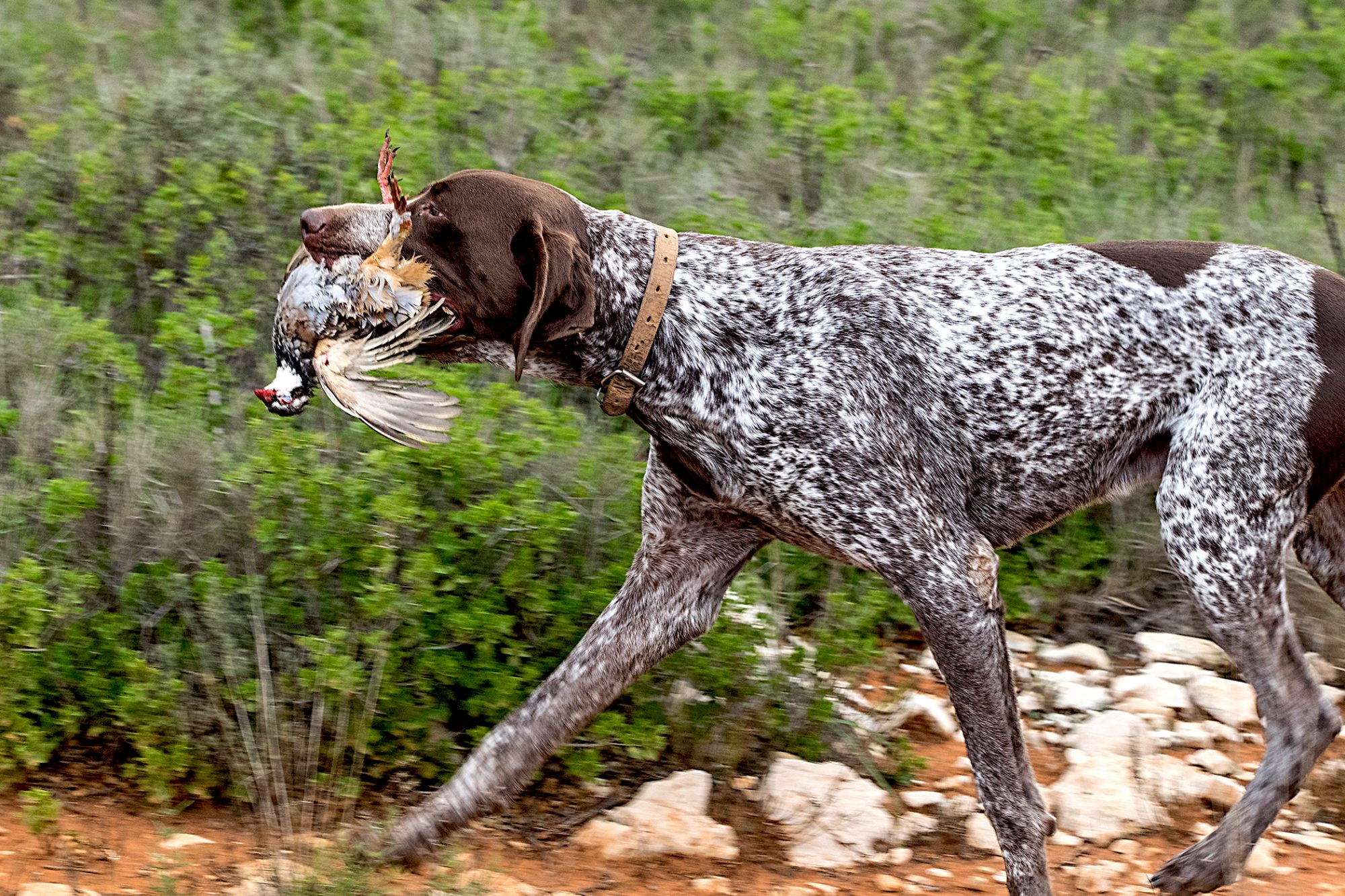 german shorthaired pointer walking in the woods with a bird in mouth