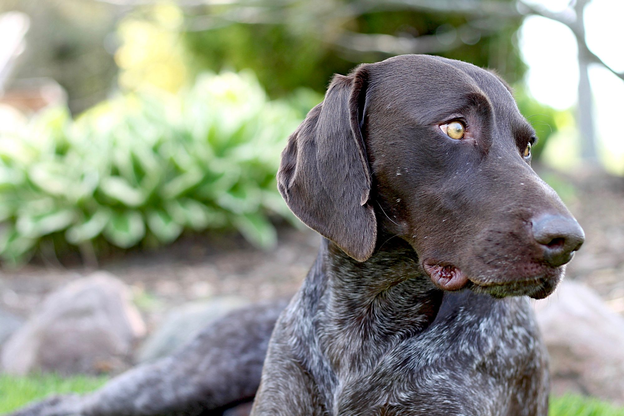 closeup of a german shorthaired pointer profile sitting outside