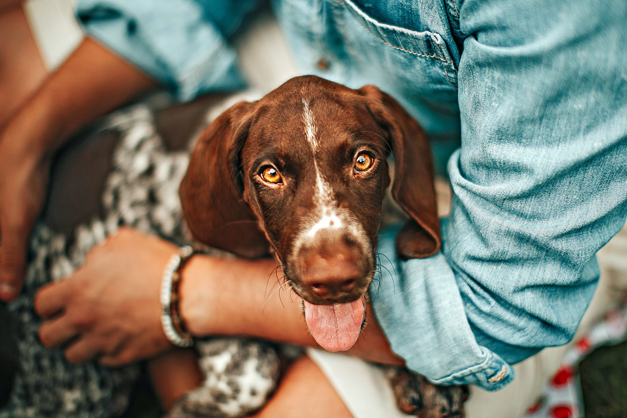 german shorthaired pointer sitting in owner's arm with his tongue out looking at the camera