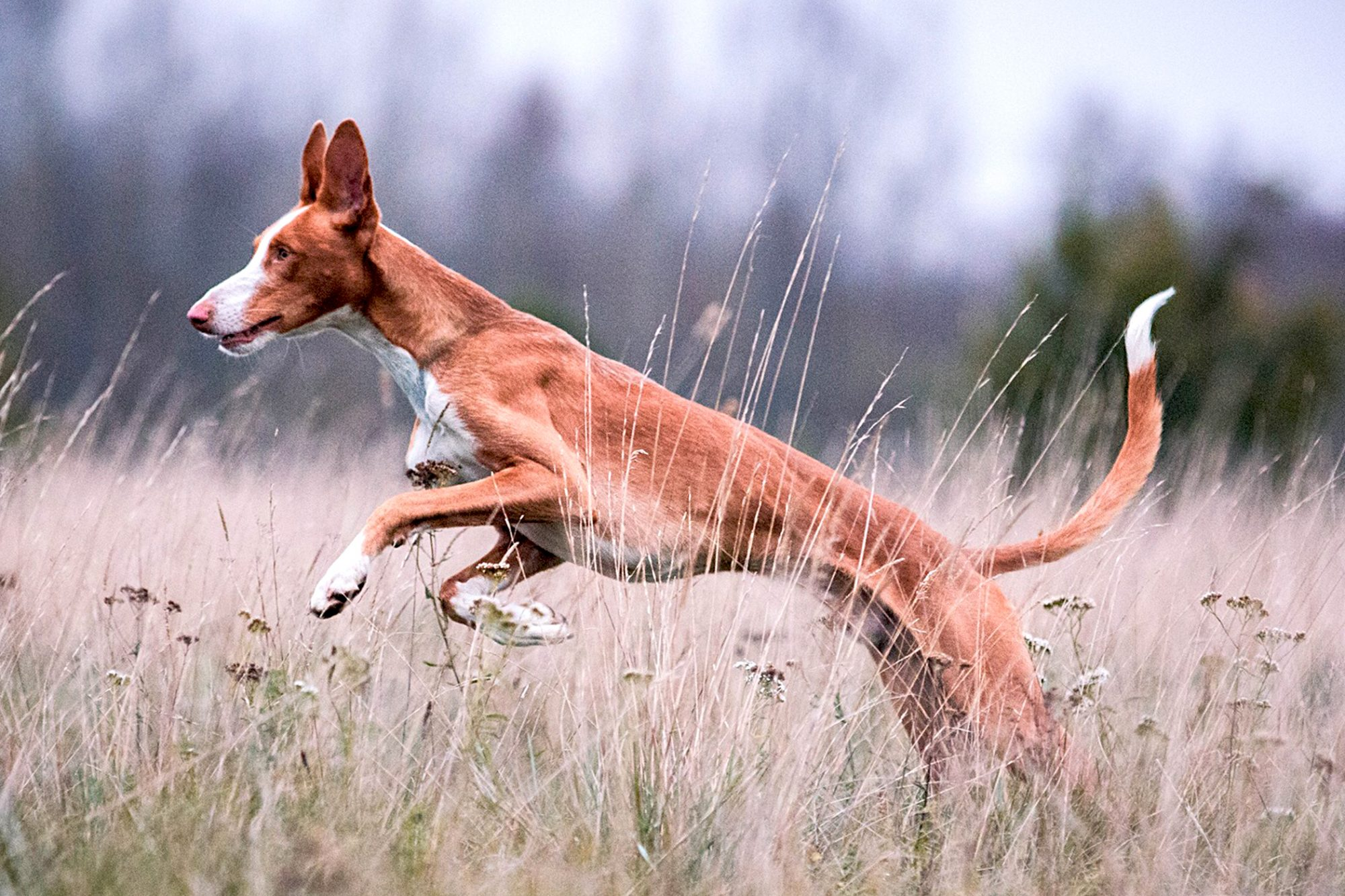 ibizan hound running outside in a field