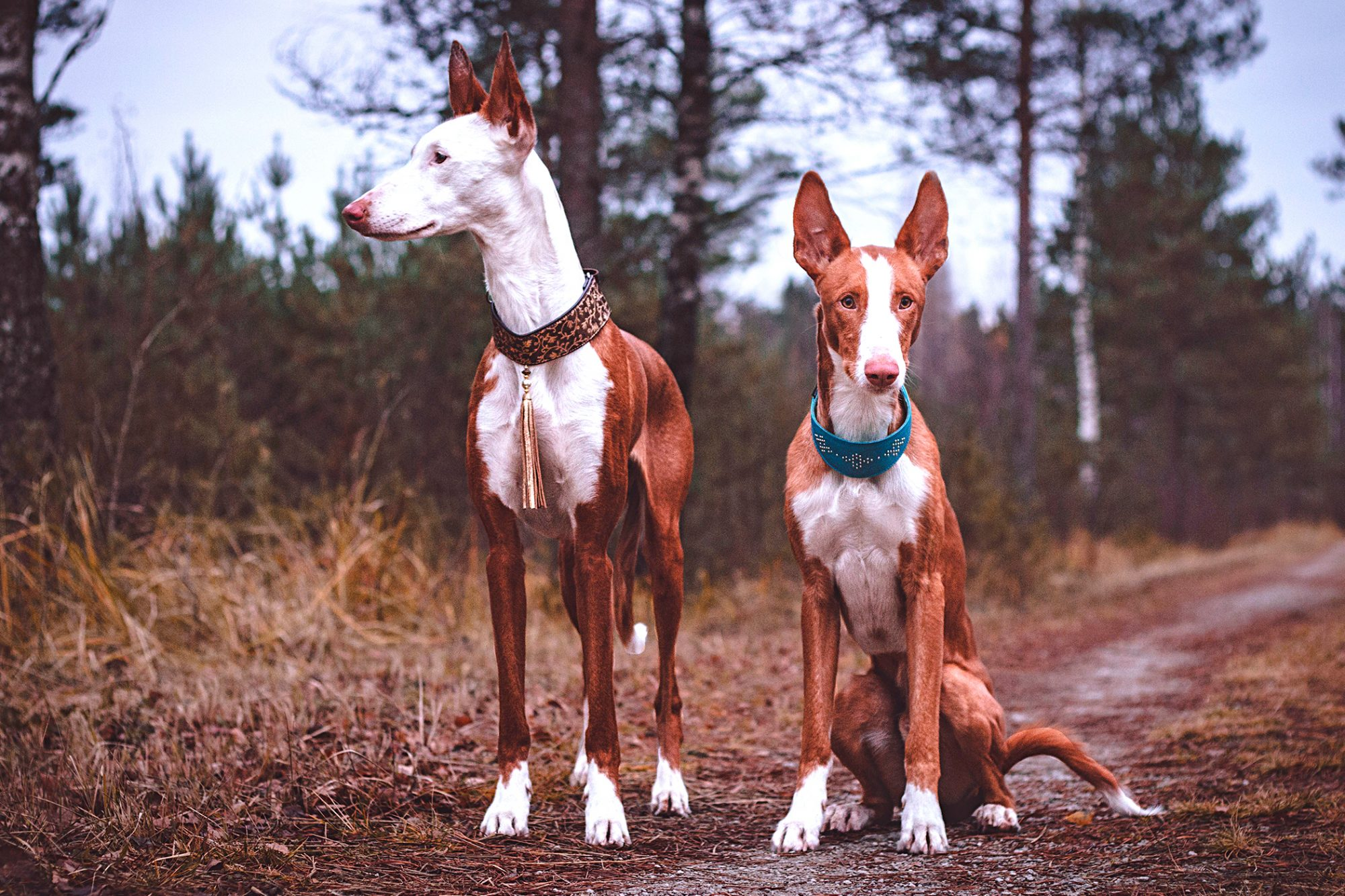 two red and white ibizan hounds outside on a trail in the woods