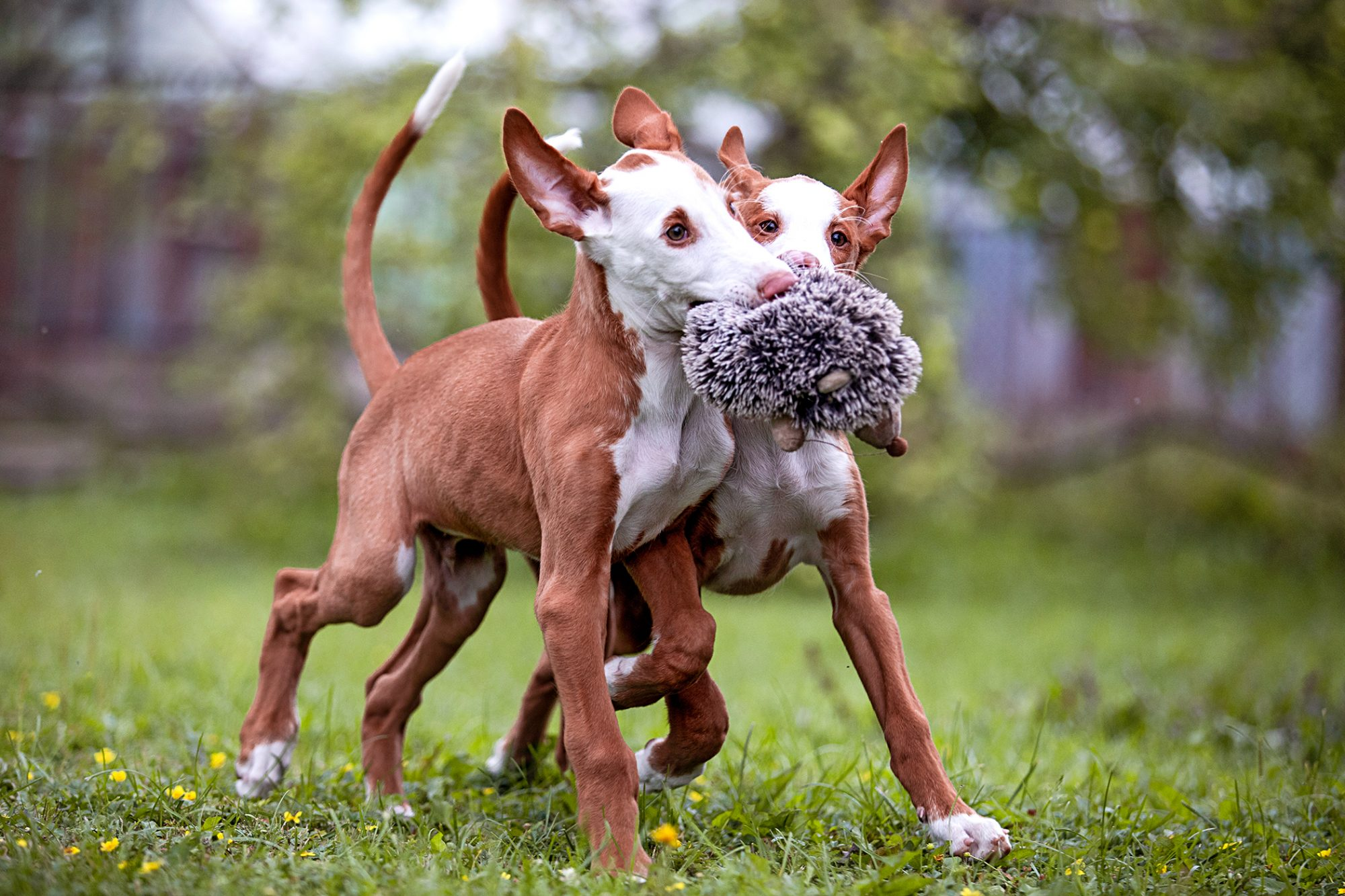 two ibizan hound puppies playing in the yard with a stuffed hedgehog toy