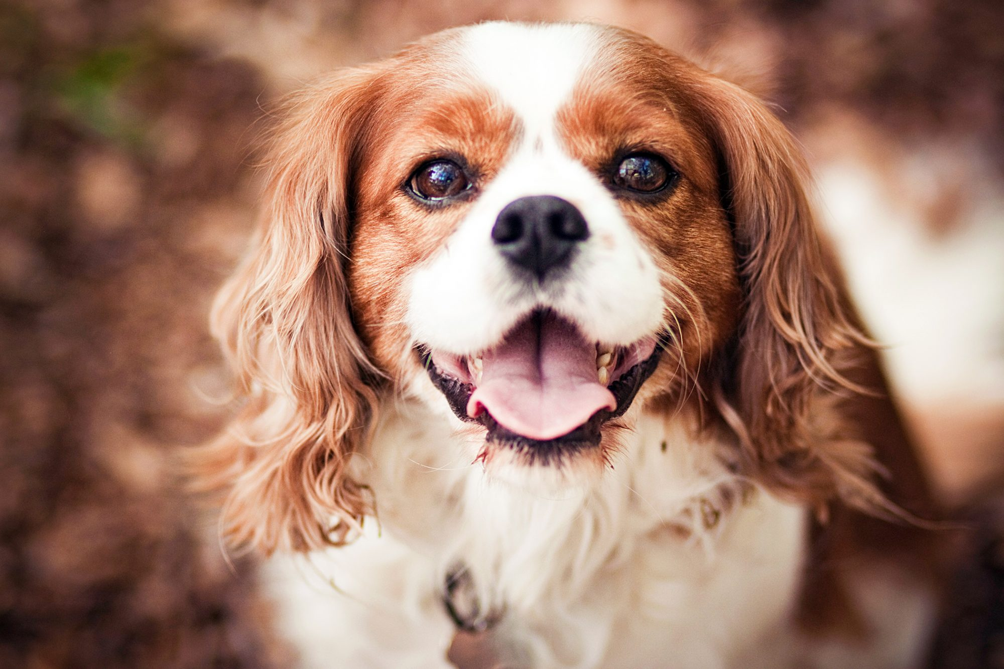 close up of a king cavalier charles spaniel looking at the camera with her tongue out