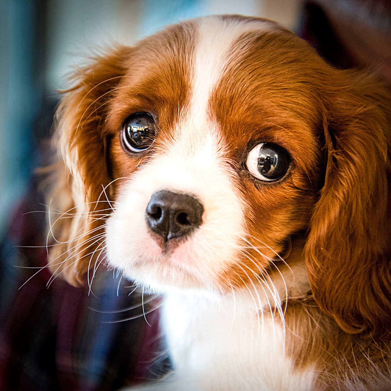 closeup of a king cavalier charles spaniel puppy looking with puppy eyes