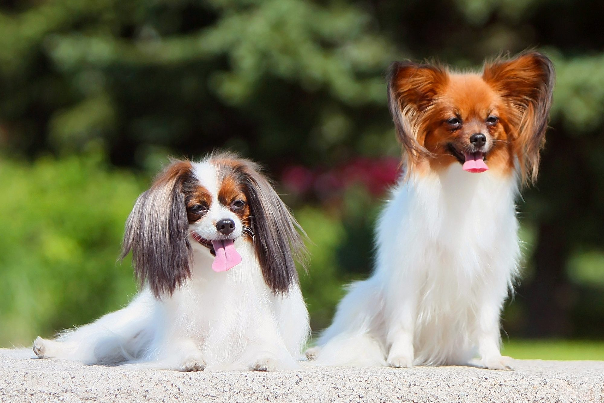two papillon dogs smiling sitting on a stone bench outside on a sunny day