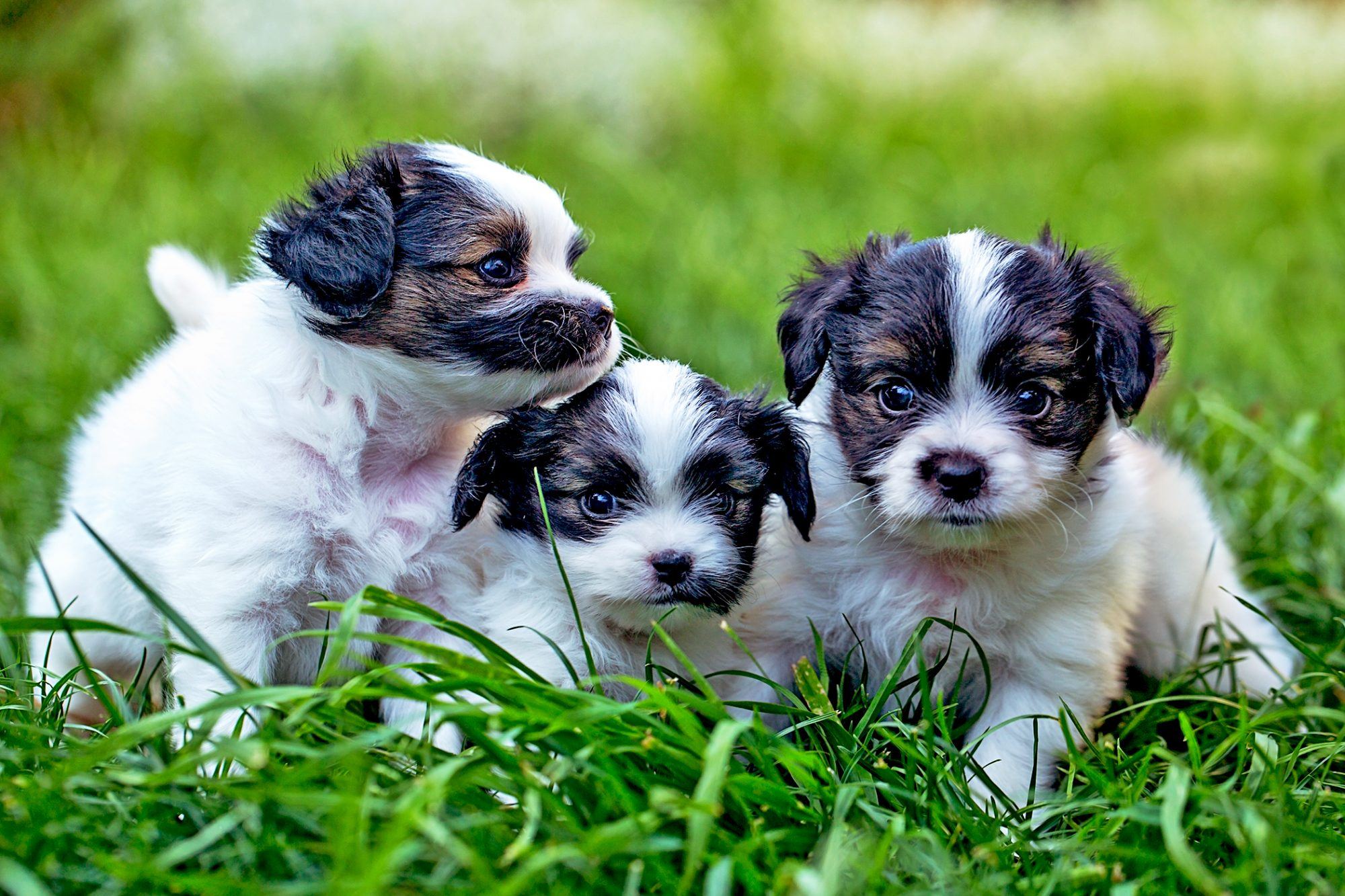 three black and white papillon puppies sitting together in grass