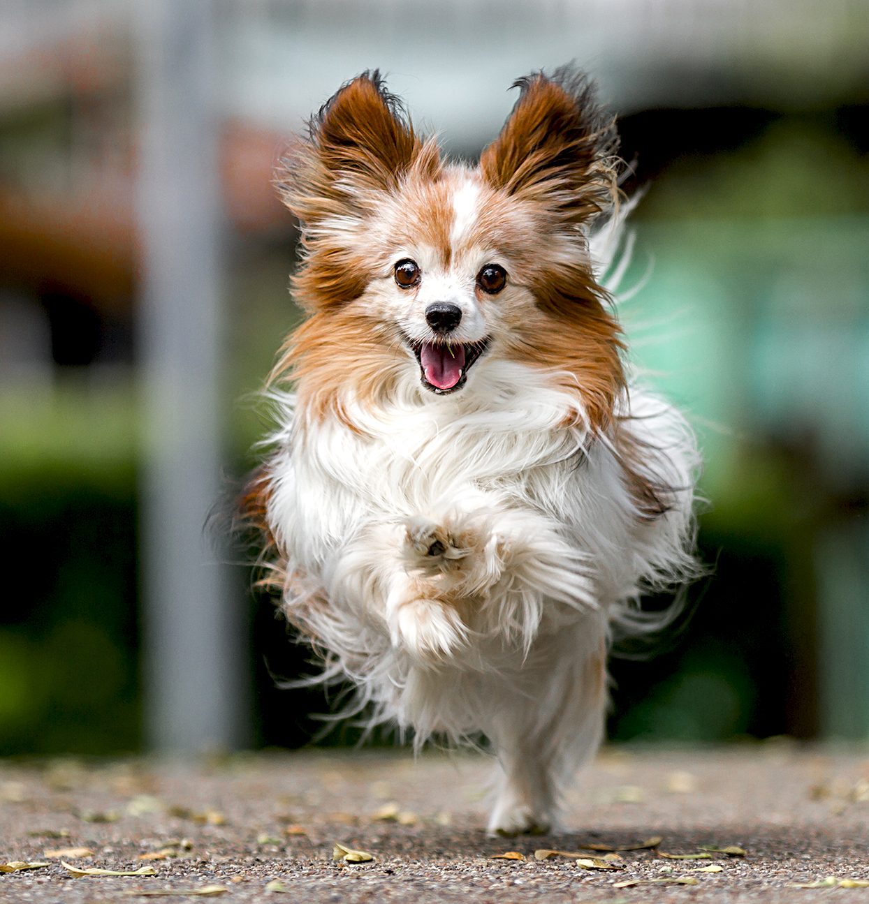 closeup of a white and red papillon running on a sidewalk