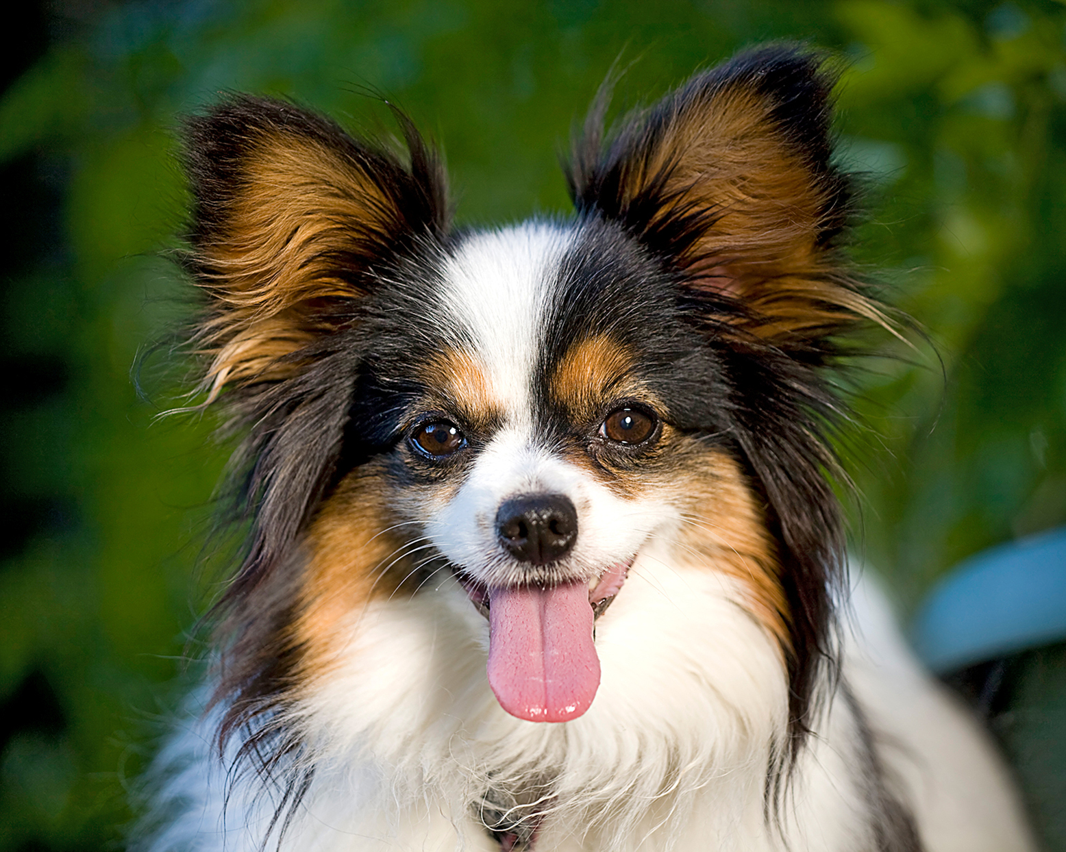 closeup of a papillon looking at the camera with her tongue out