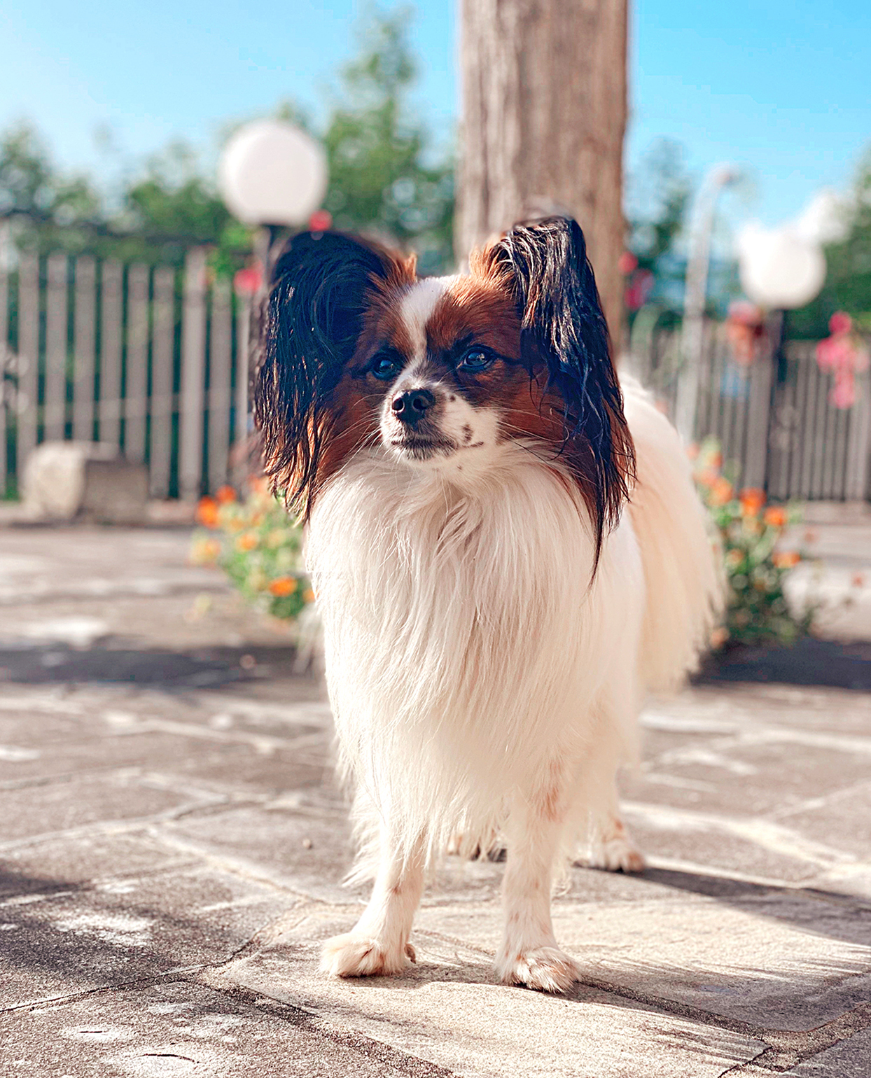 brown and white papillon standing on cement patio with flowers in the background