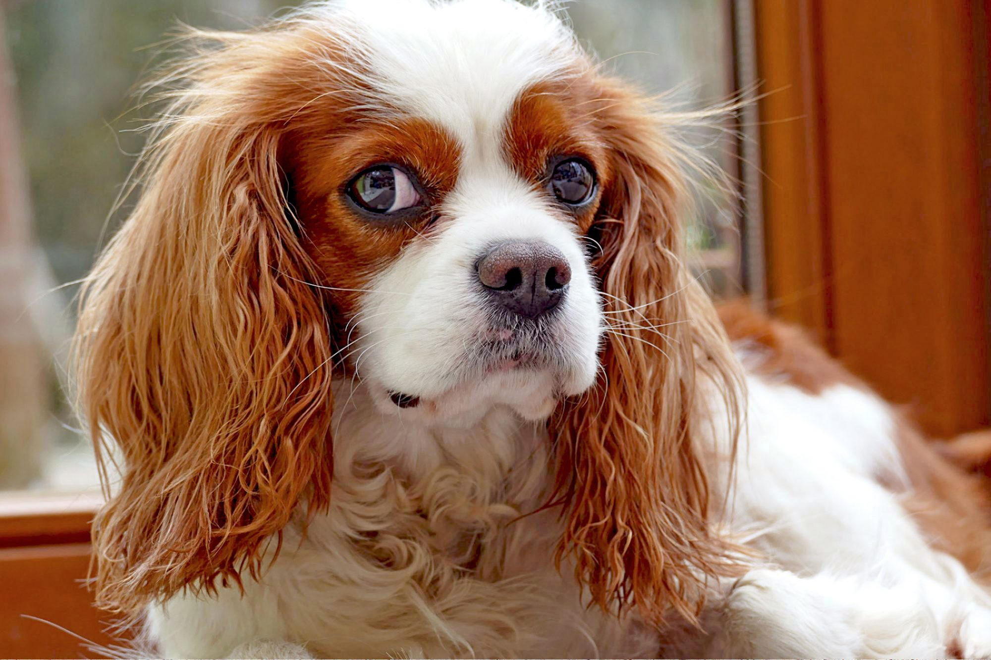 close up of a king cavalier charles spaniel sitting next to a window