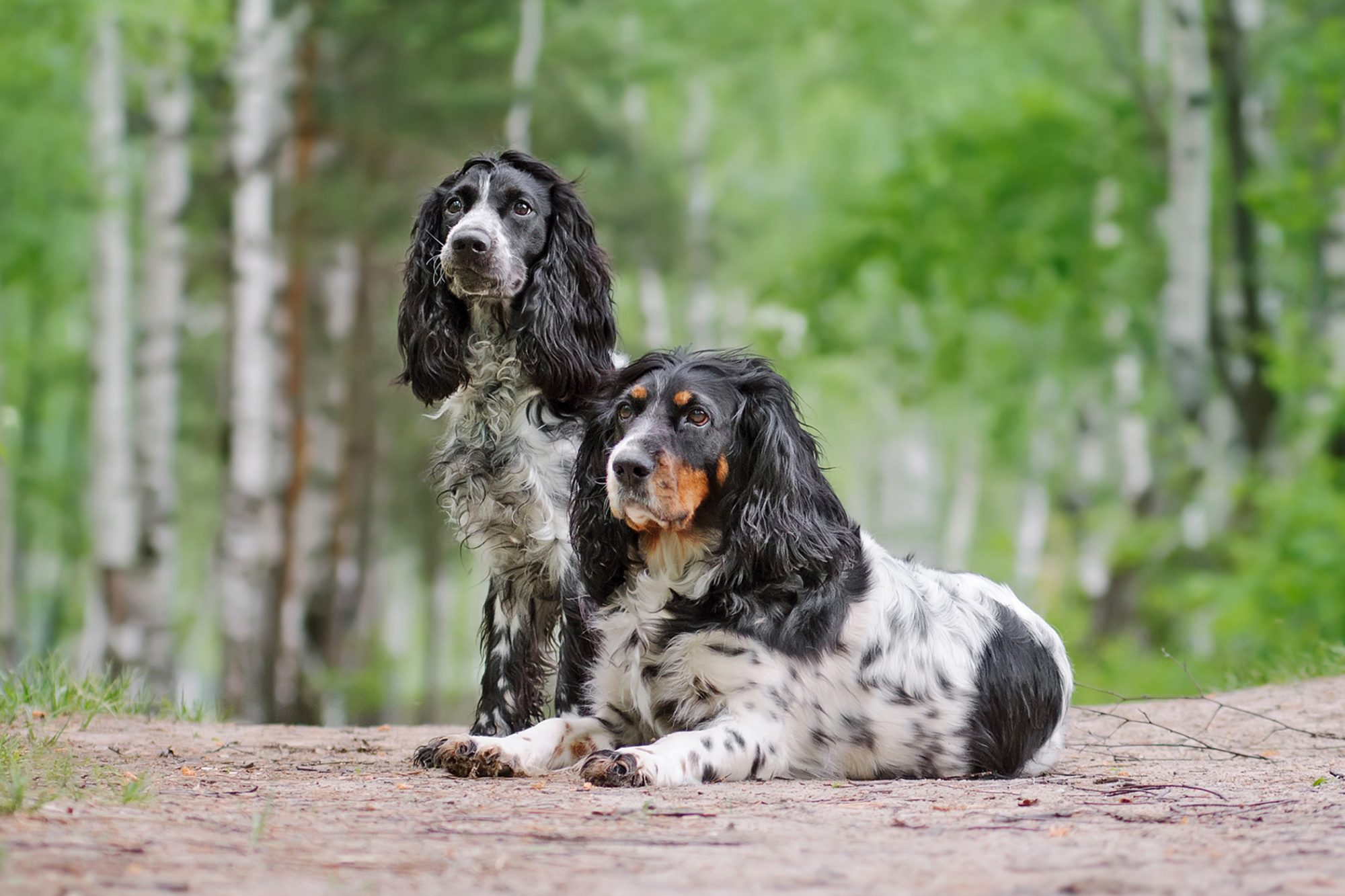 Two Russian Spaniels posing in a forest