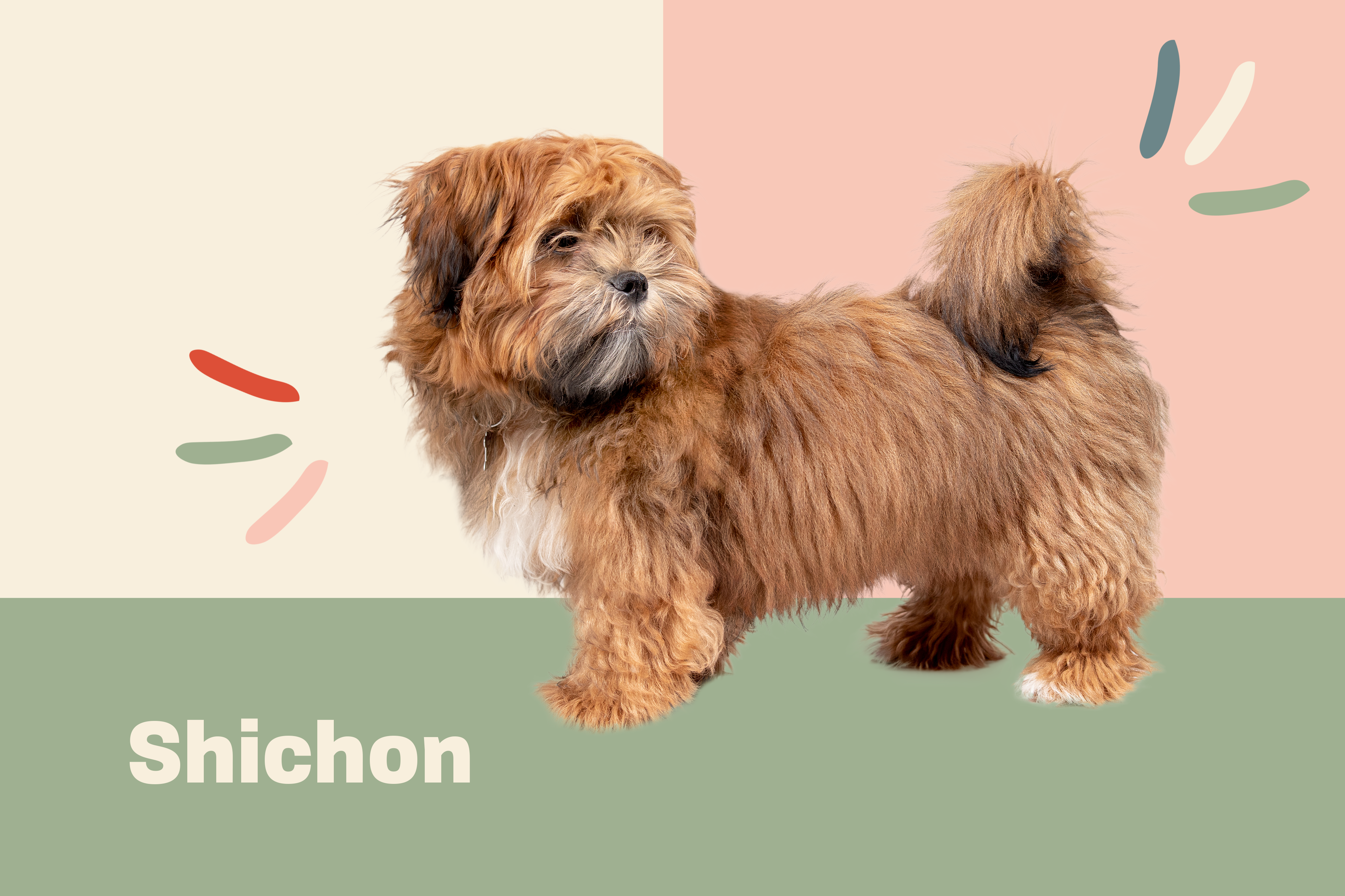 shichon dog breed profile treatment brown dog on a pink, cream and green background