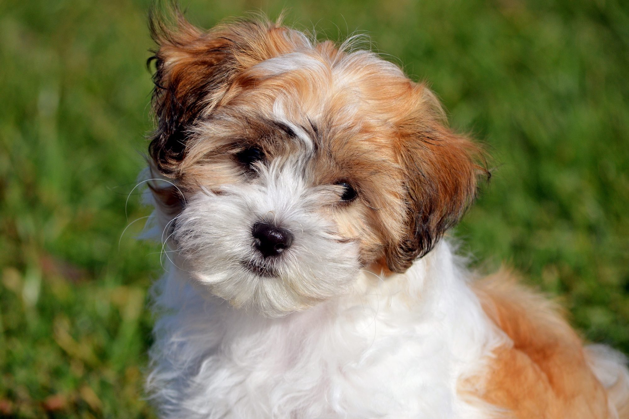 cute brown and white shichon puppy sitting outside looking directly at the camera