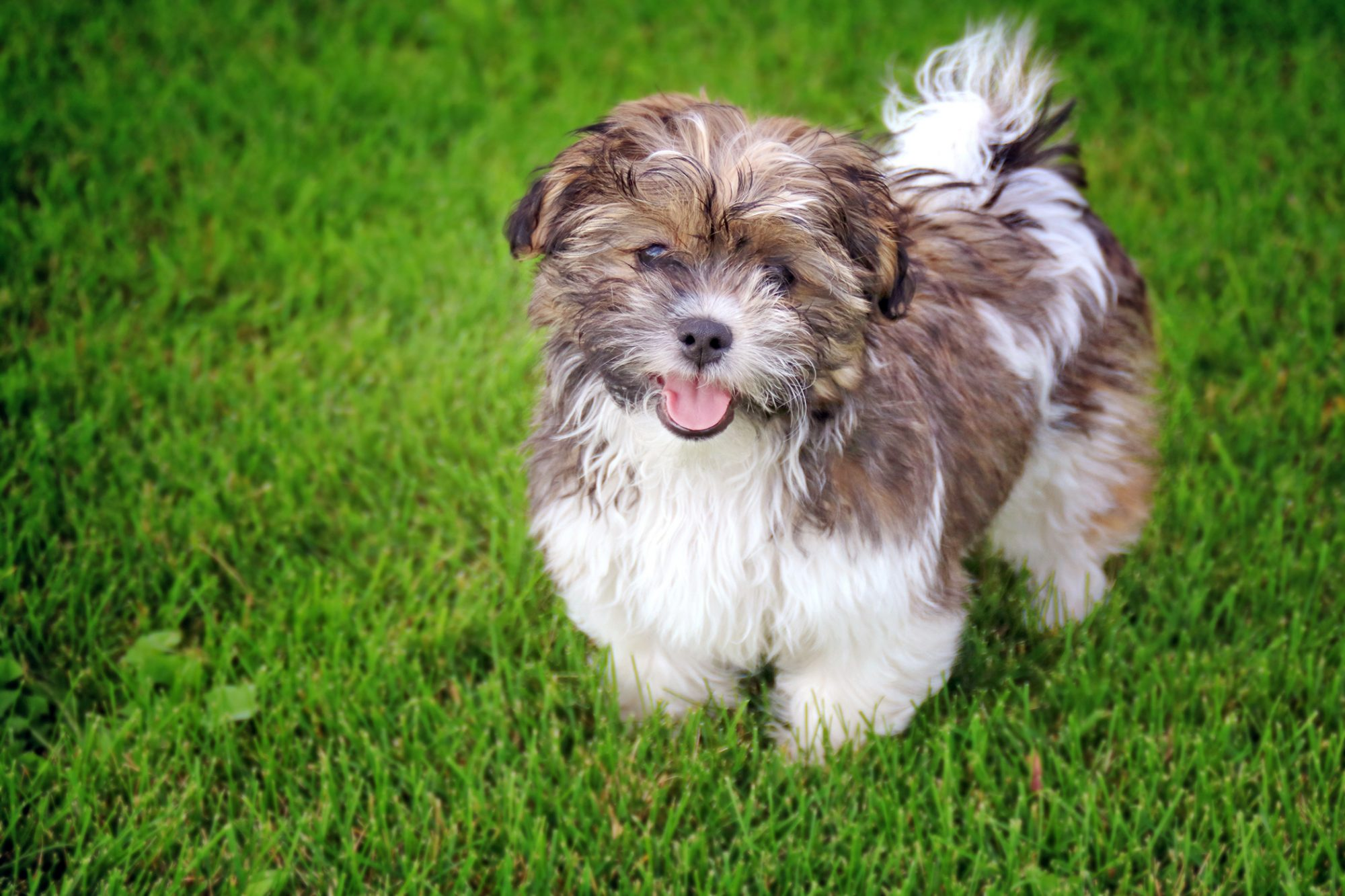 shichon dog standing outside in grass looking at the camera with their tongue out