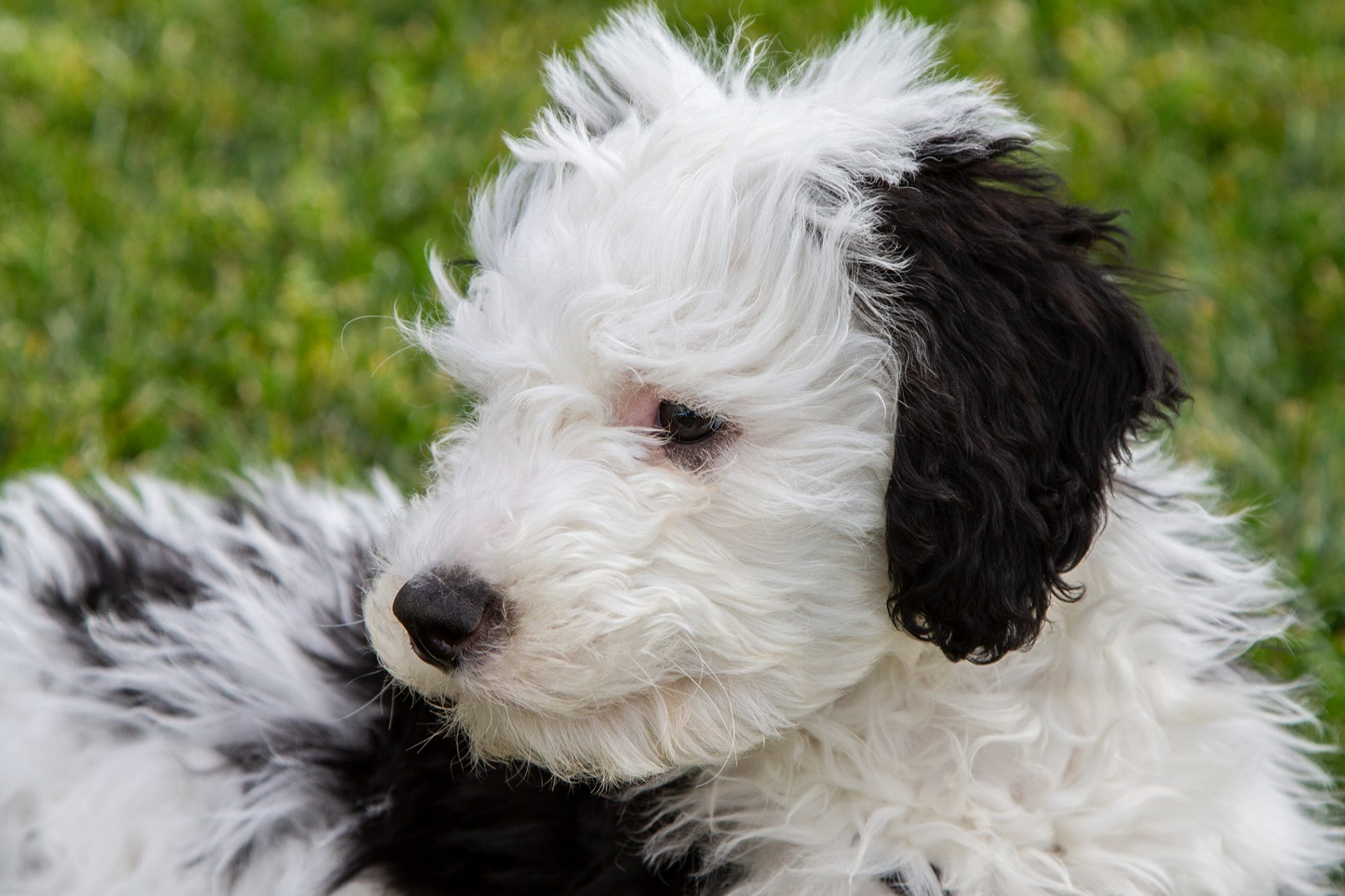closeup of a sheepadoodle puppy sitting outside in the grass