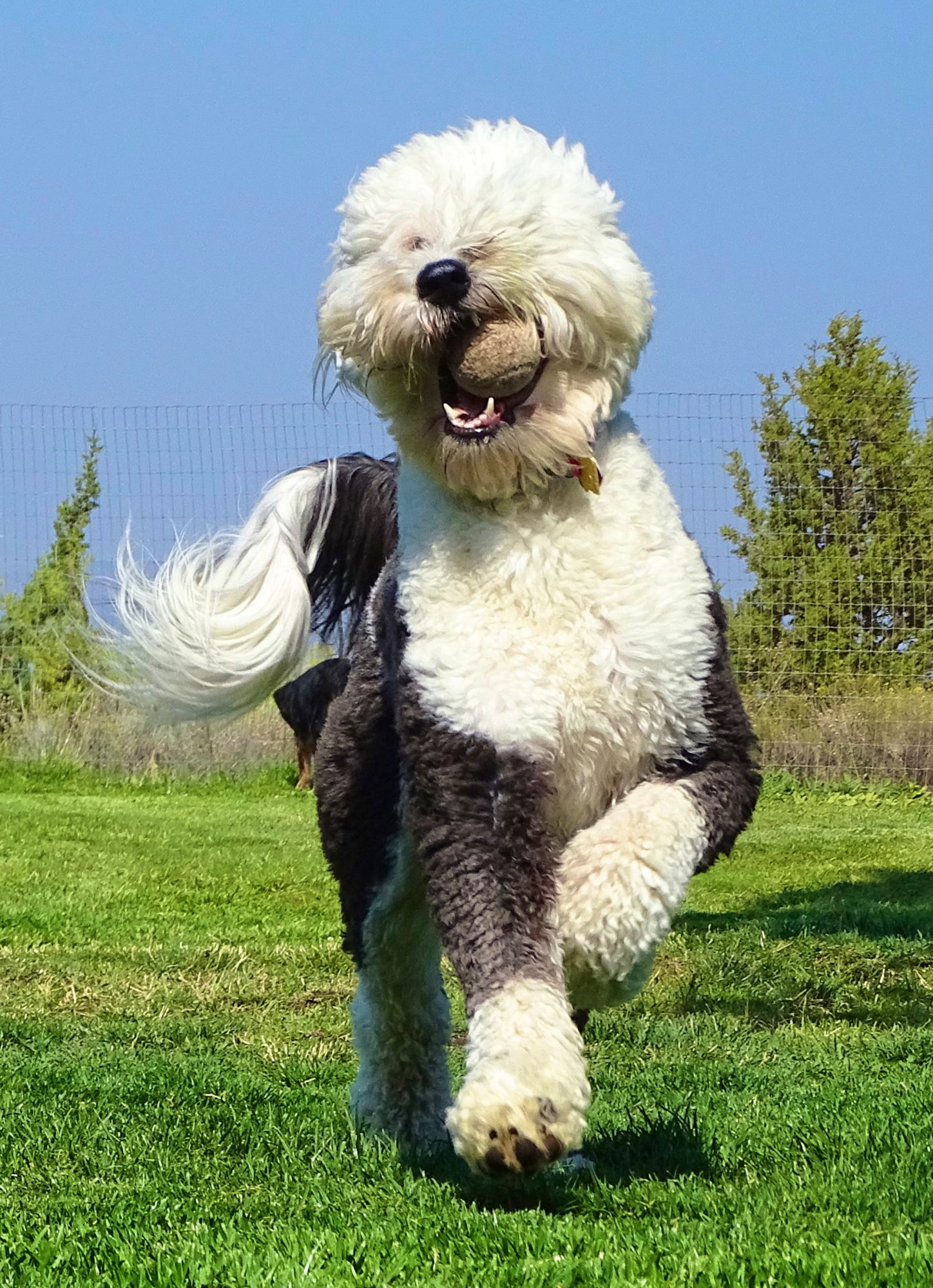 sheepadoodle running outside with a tennis ball in their mouth