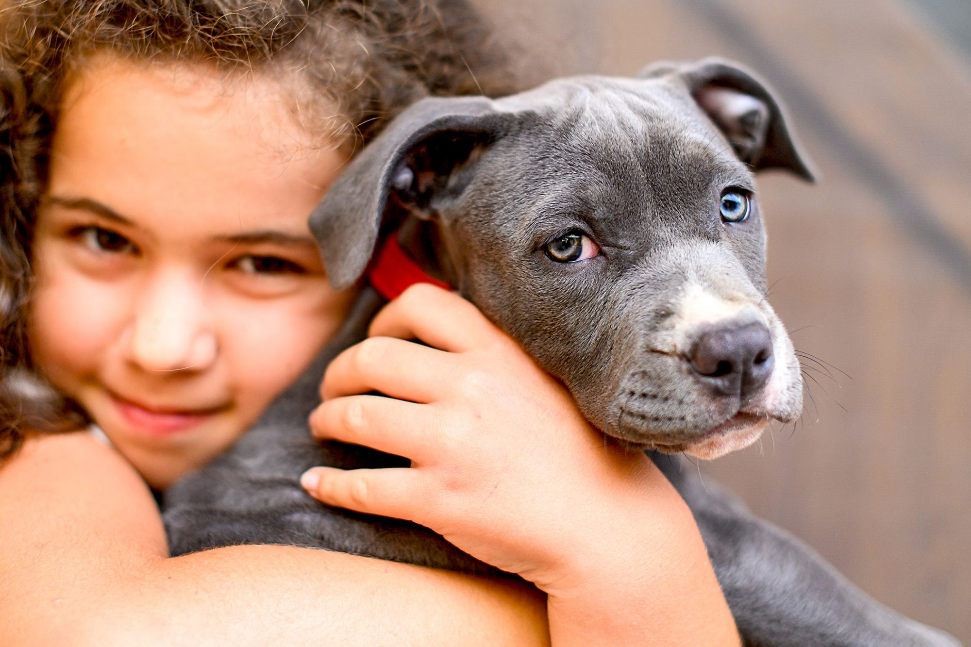 young girl holding her grey american stafford terrier puppy in her arms