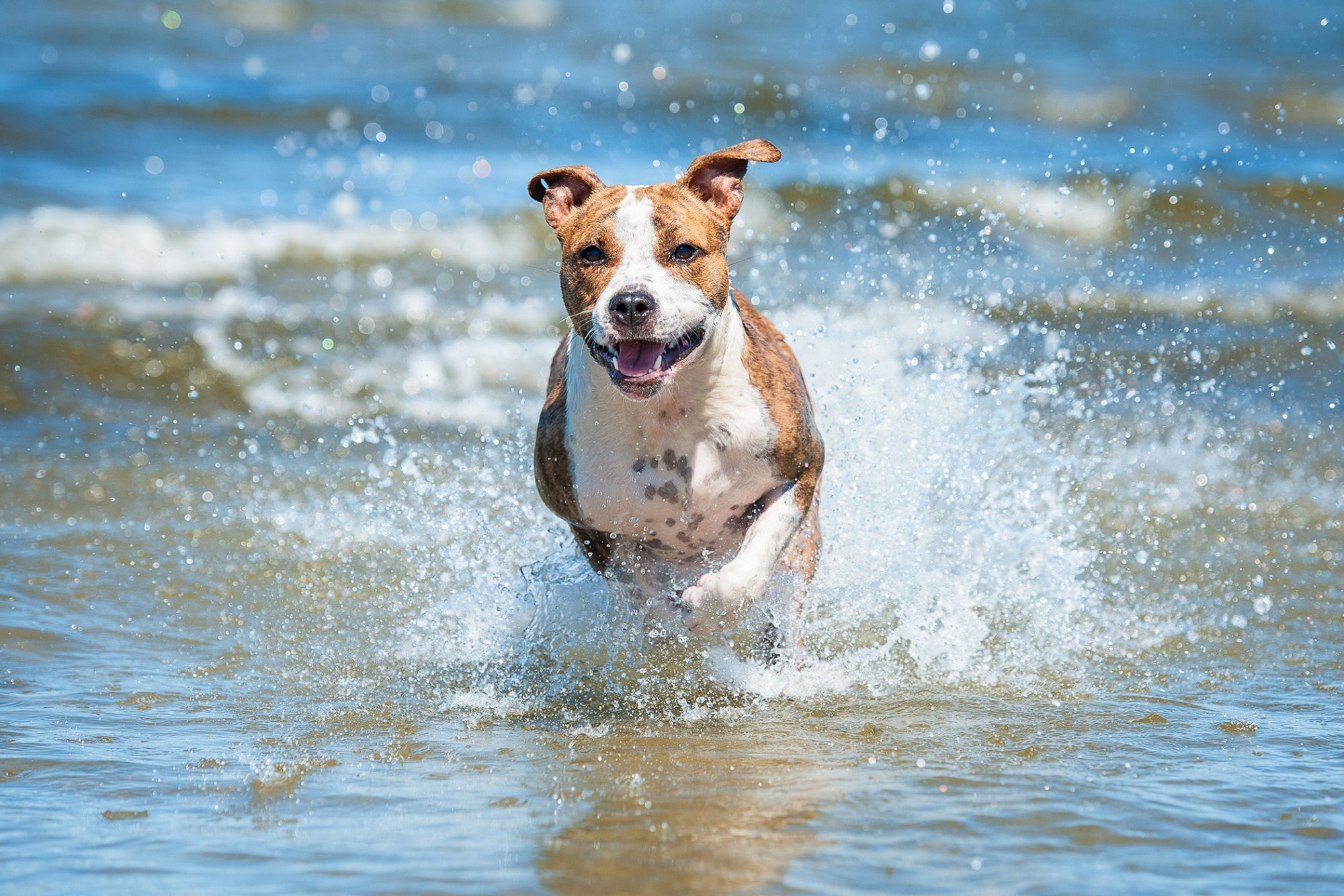 brown and white american stafford terrier running in water