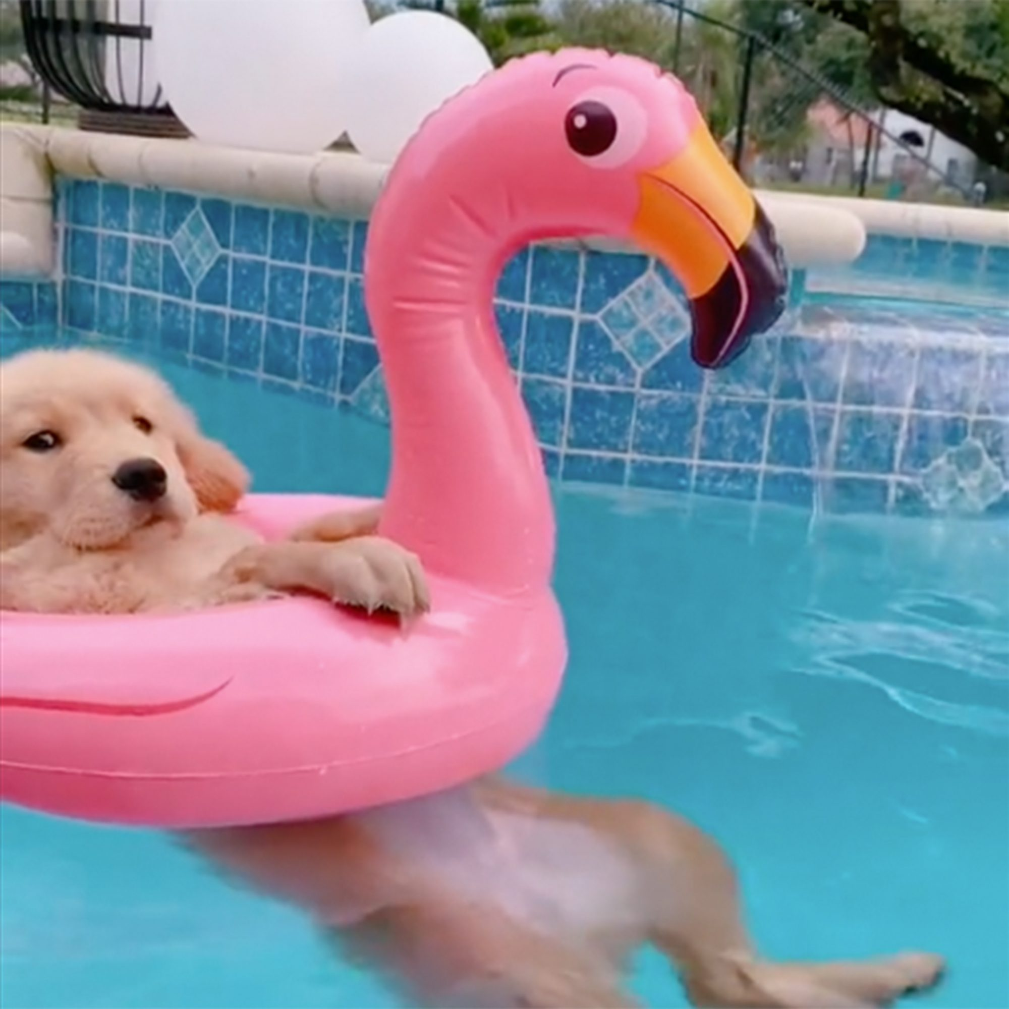 gold pup floating in swimming pool with inflatable pink flamingo swim tube