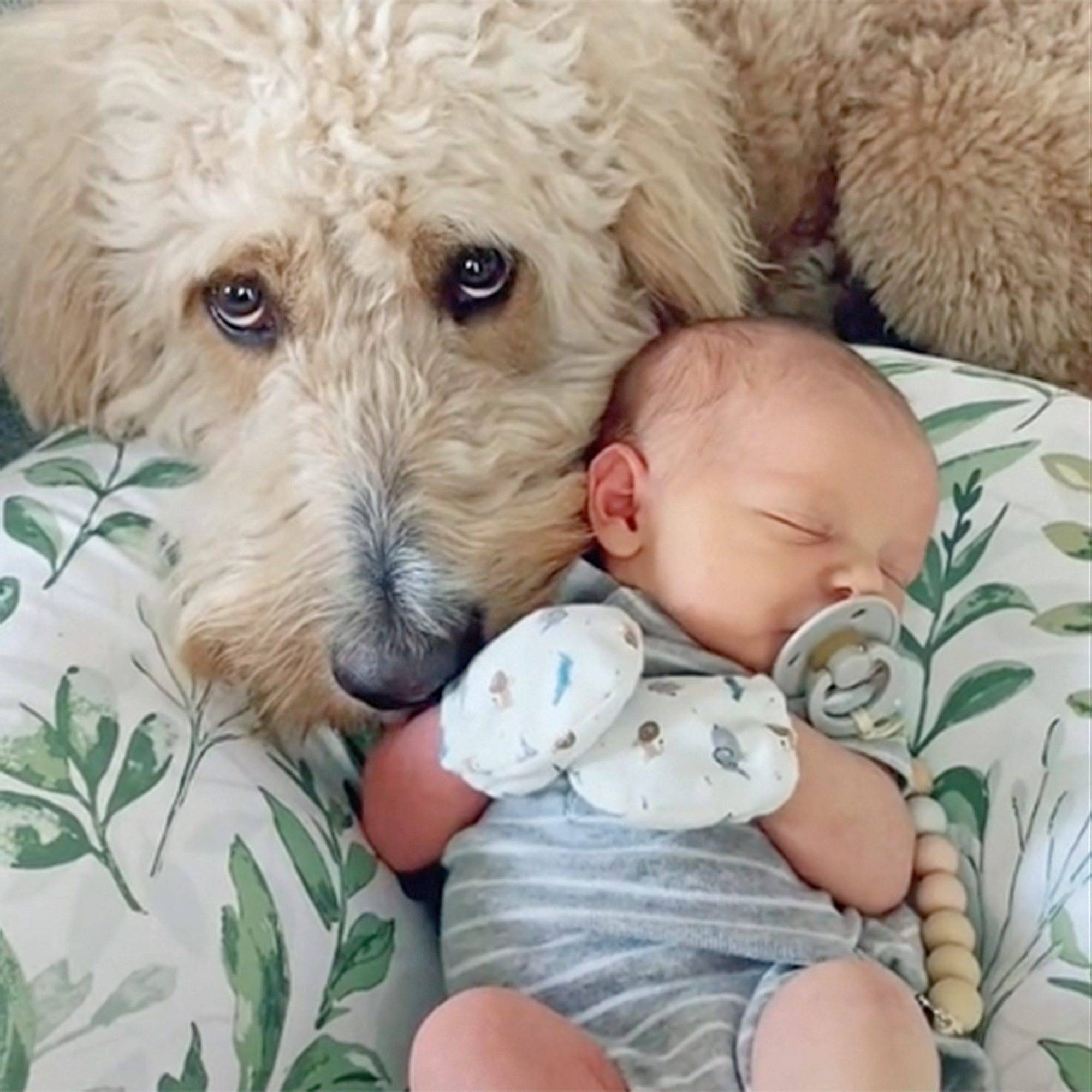 goldendoodle meets and snuggles with baby