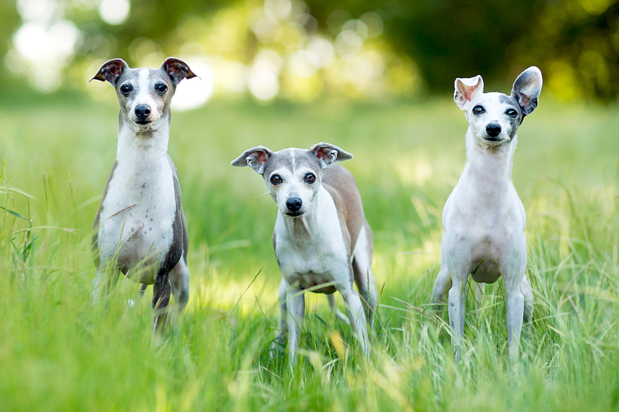 three small italian greyhounds standing outside in tall grass