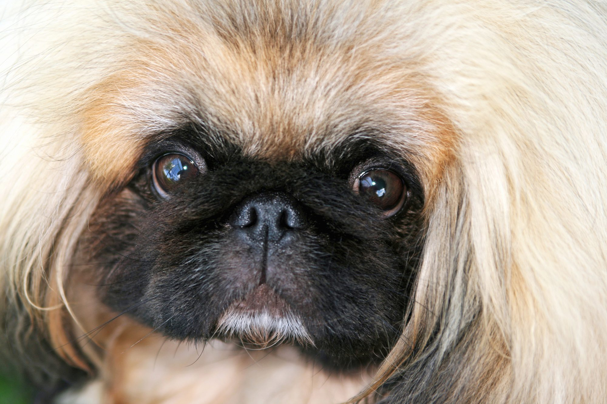 closeup of a Pekingese with a black face and blonde fur