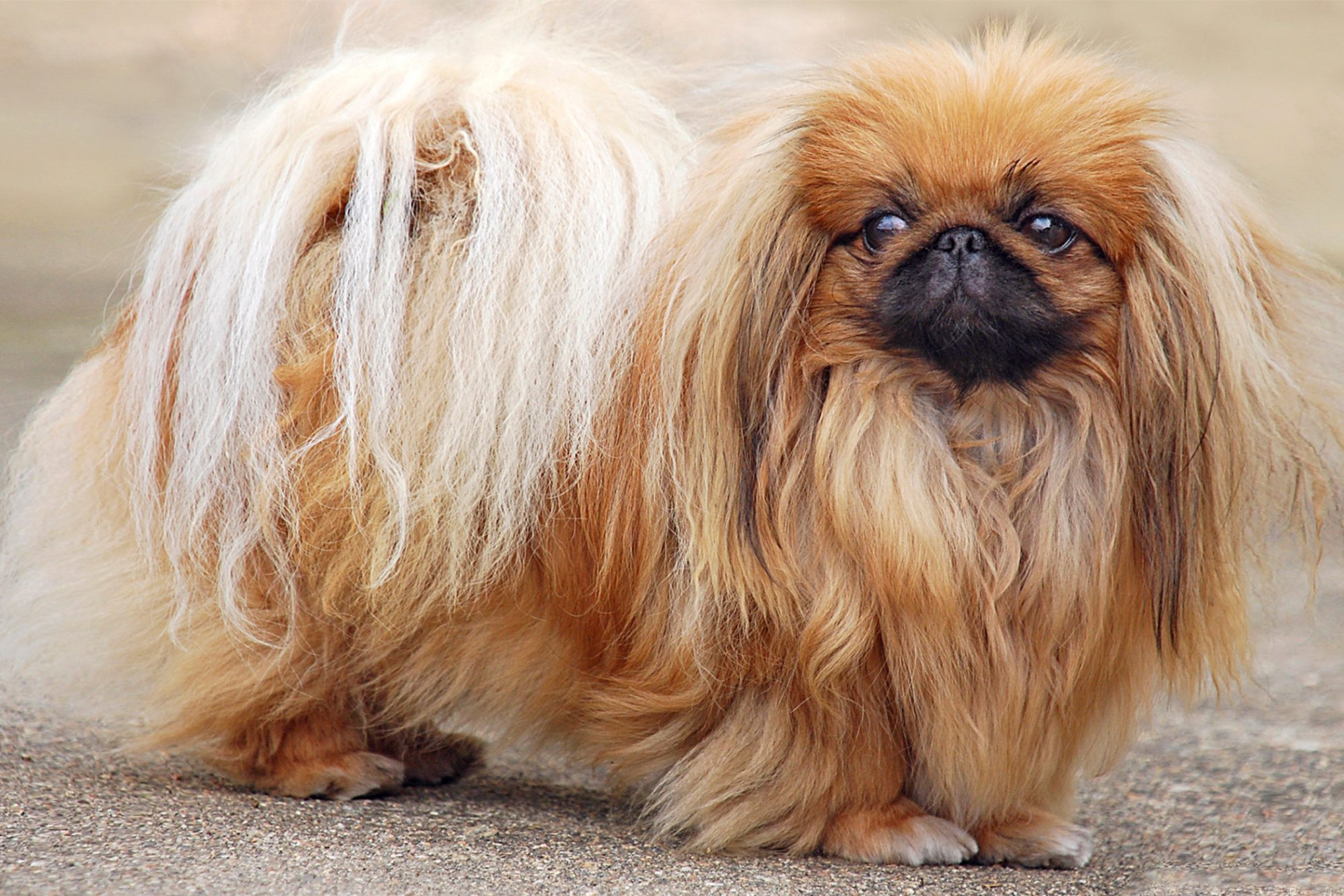 full body profile of a Pekingese with long brown fur standing on a sidewalk