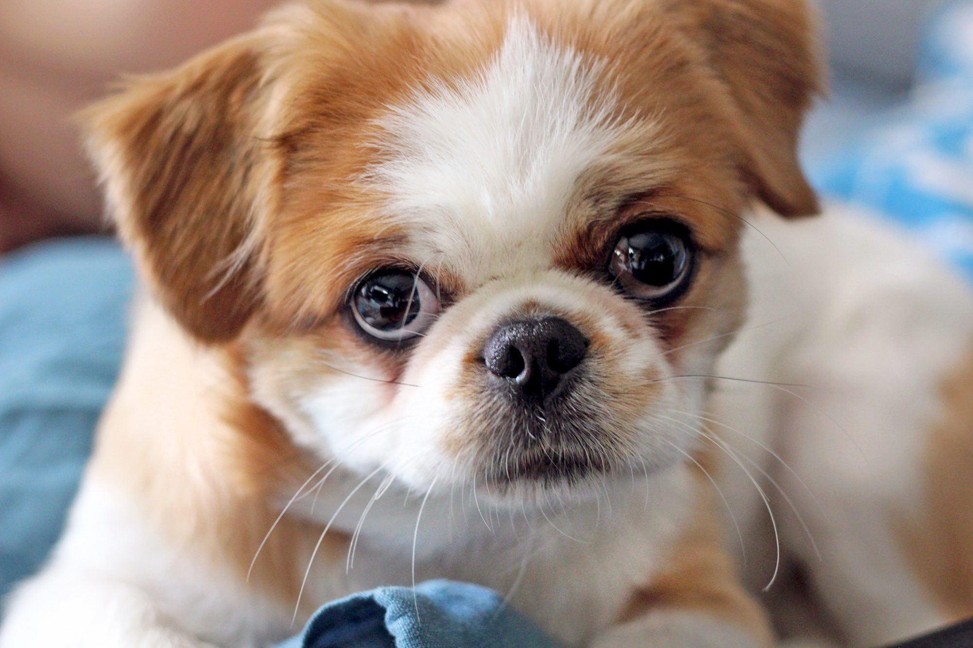brown and white Pekingese puppy lying on a blue towel looking at the camera