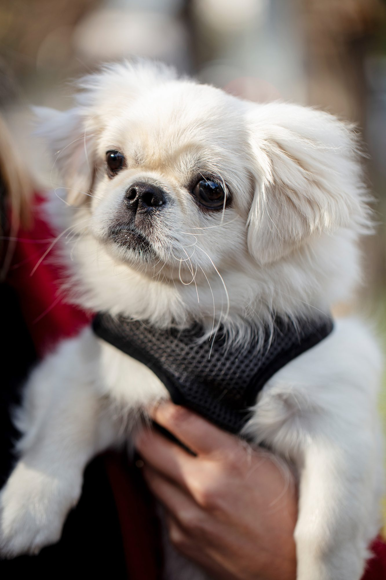 closeup of a white Pekingese in his owners arm wearing a black harness