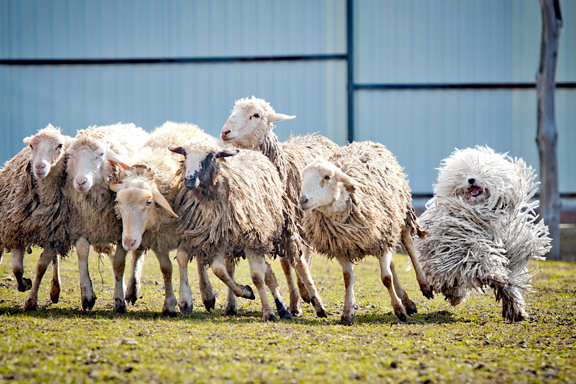 happy white puli dog running with a herd of sheep