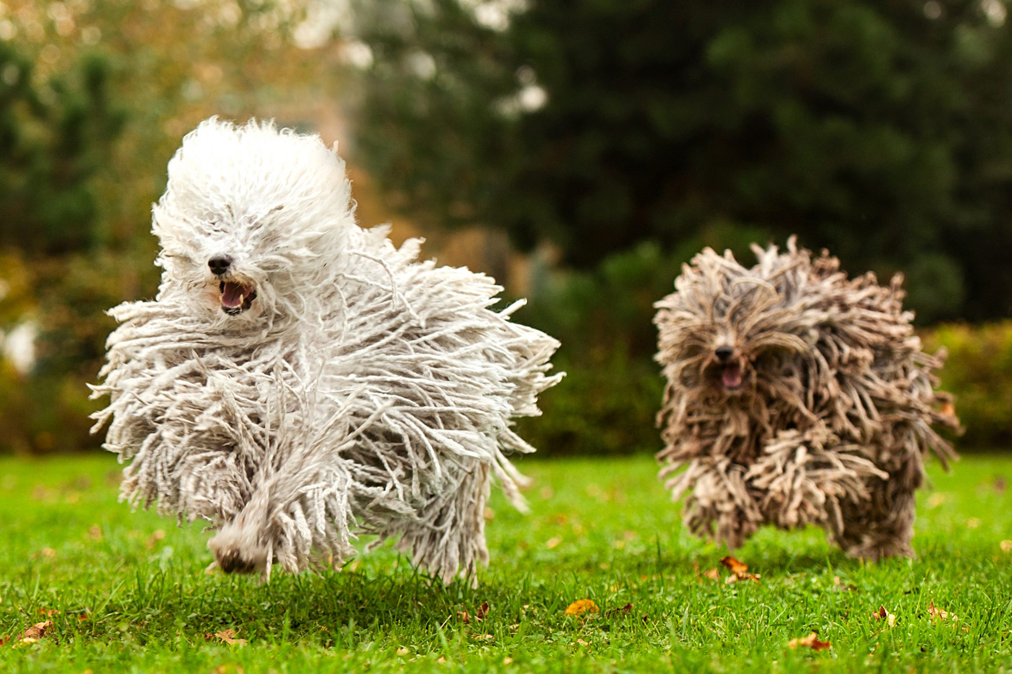 two puli dogs running outside in a park with their hair flying back
