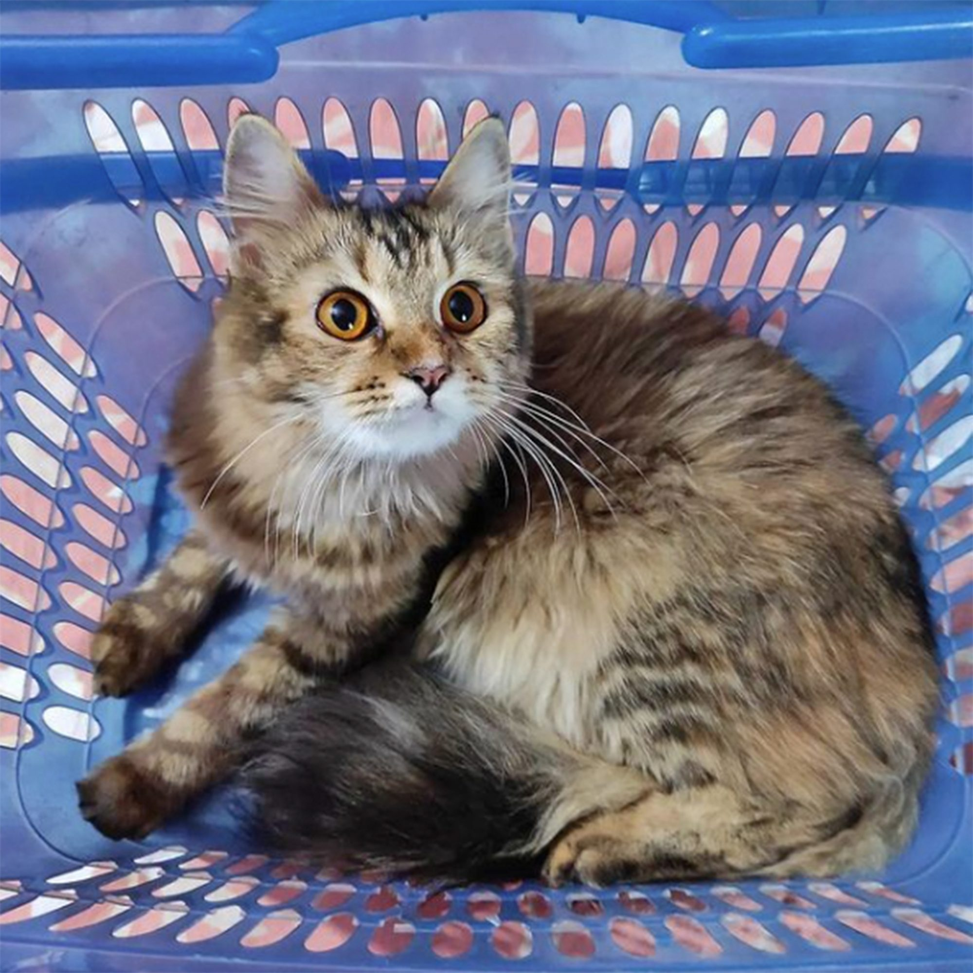 grey tabby cat curled up in blue plastic basket