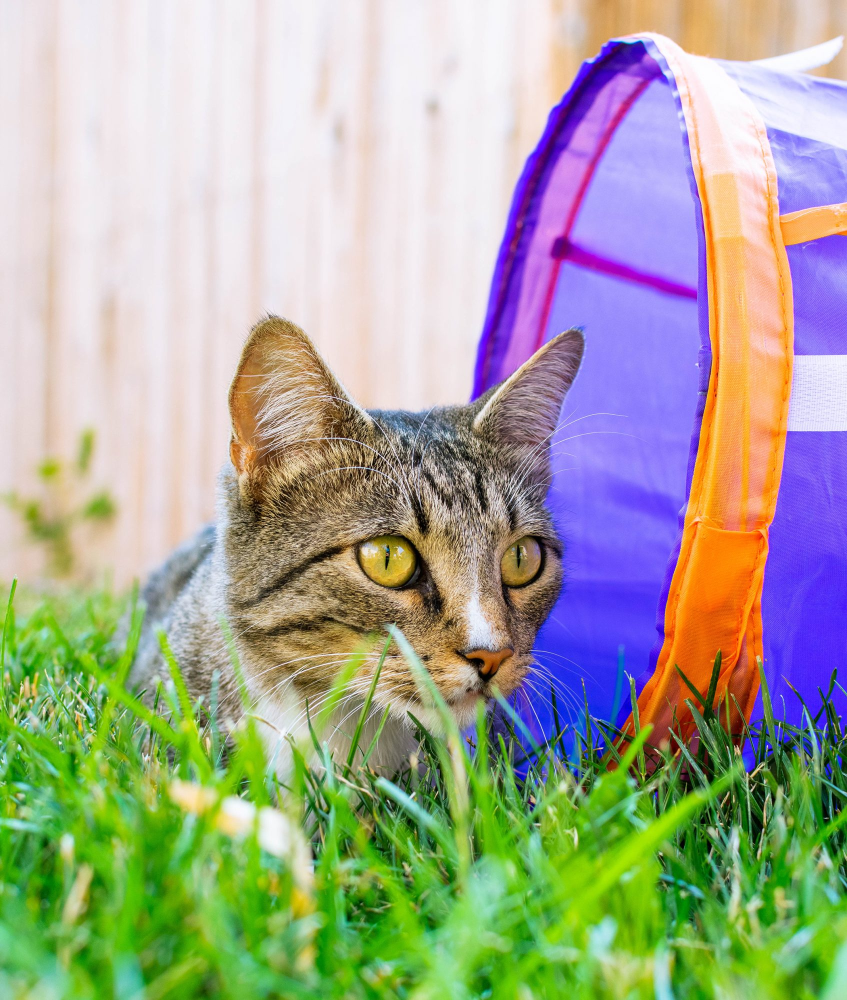 Tuck the cat sitting outside in the grass next to a play tunnel