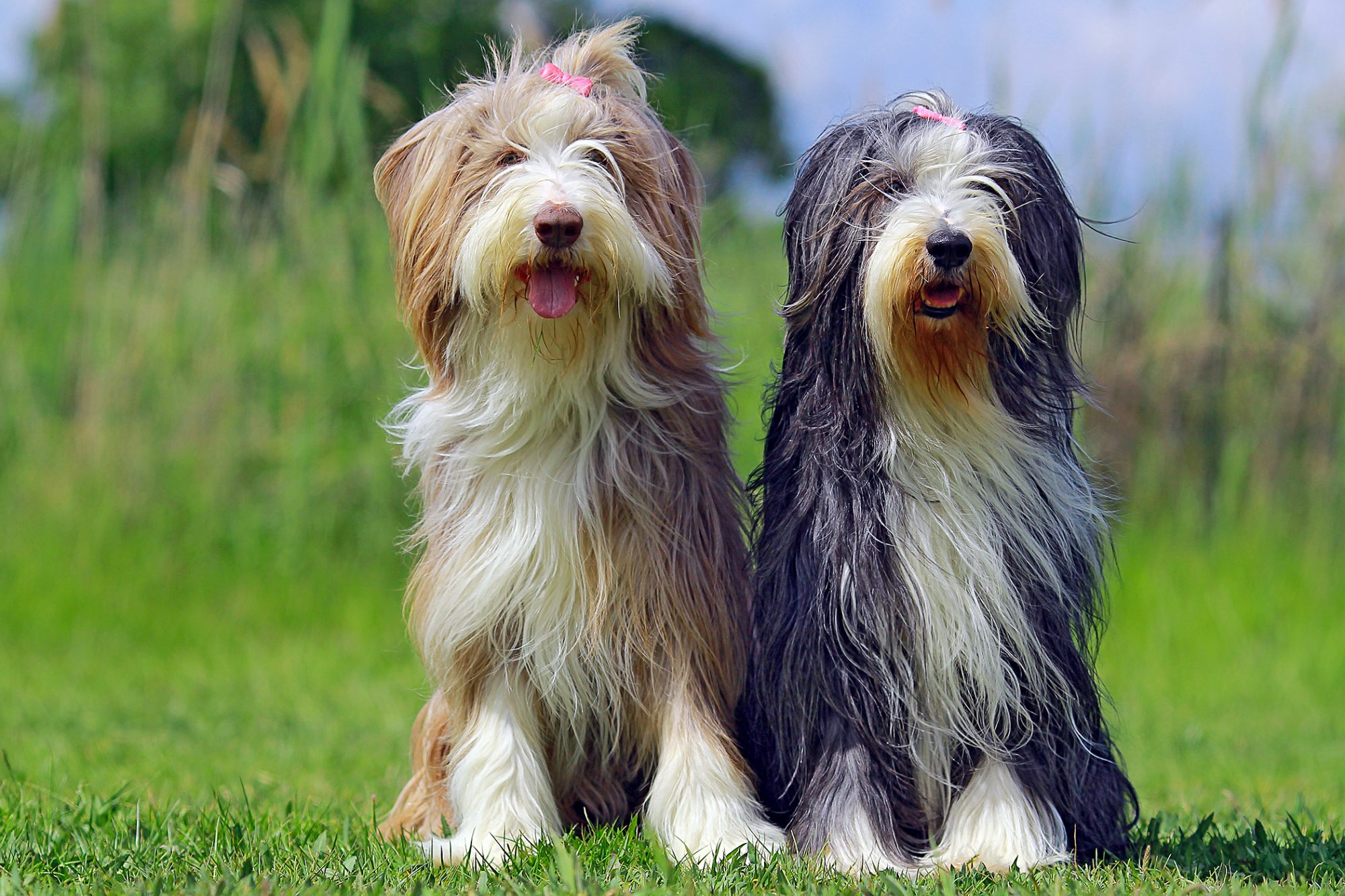 two bearded collies wearing pink bows sitting together outside in the grass