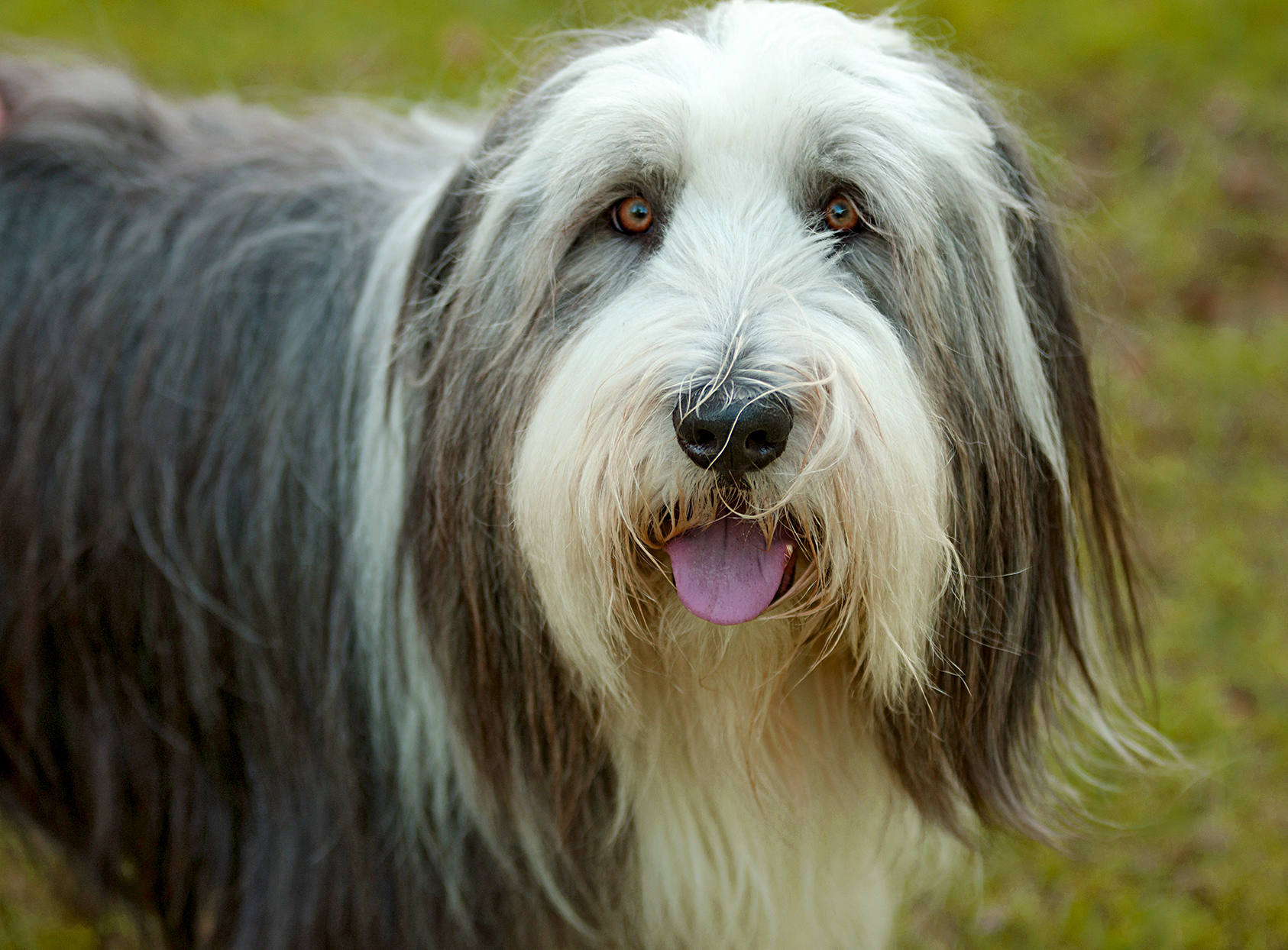 closeup of a bearded collie standing outside with his tongue out