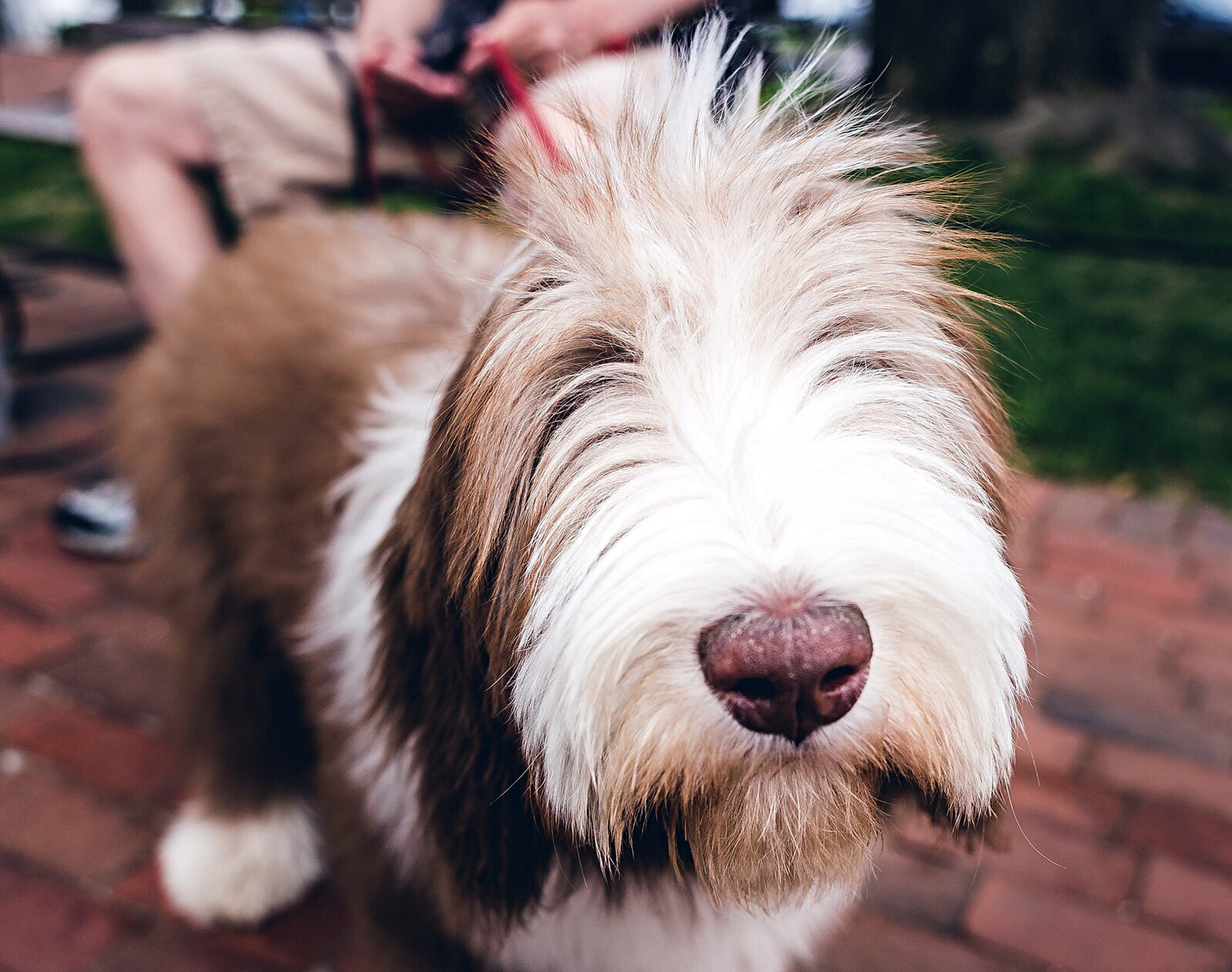 bearded collie standing on a brick patio near owner