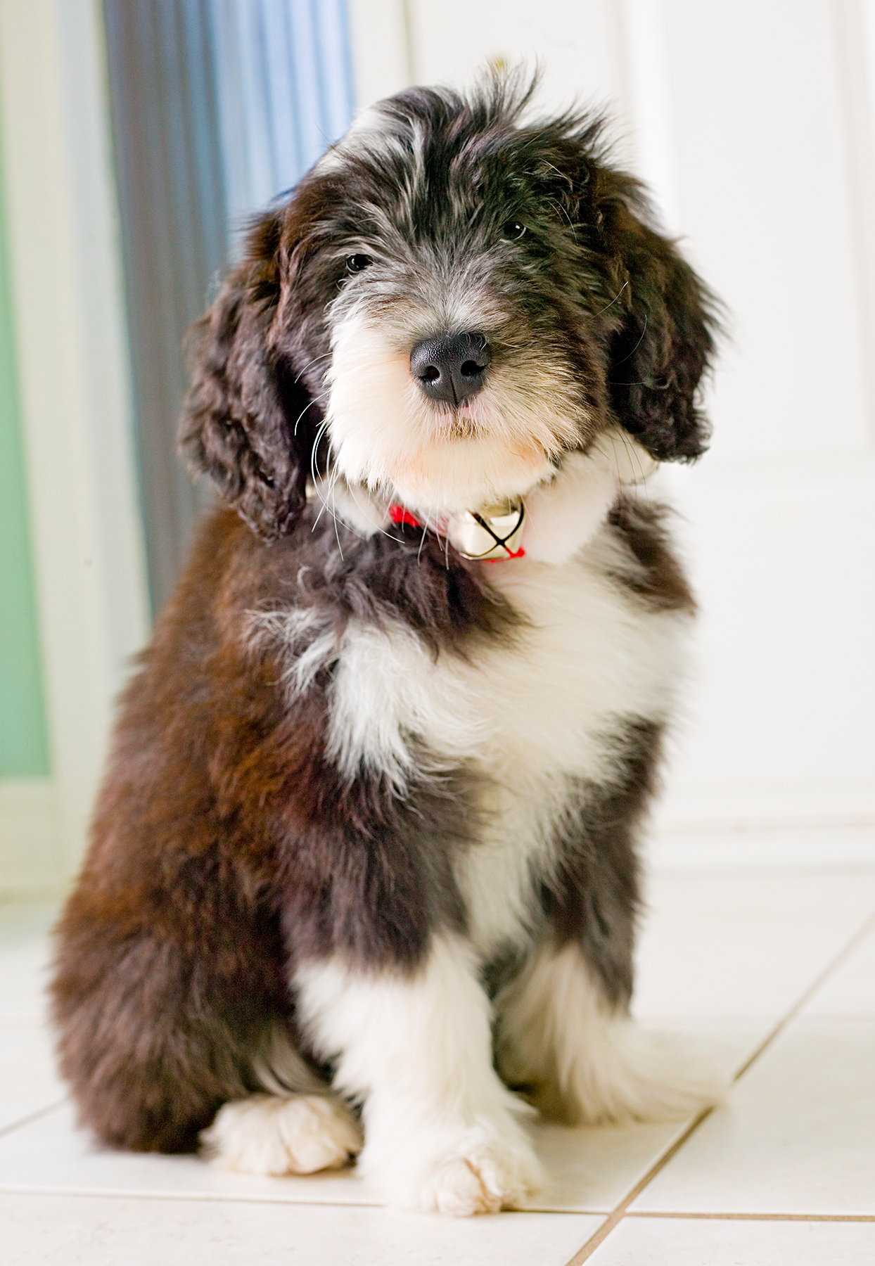 bearded collie puppy sitting on a white tile floor wearing a collar with a bell