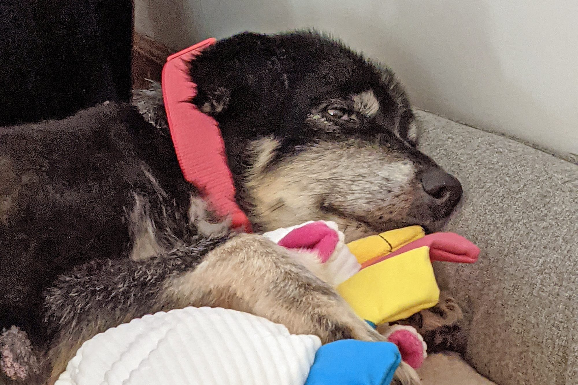 Black and tan Belky laying with his toys